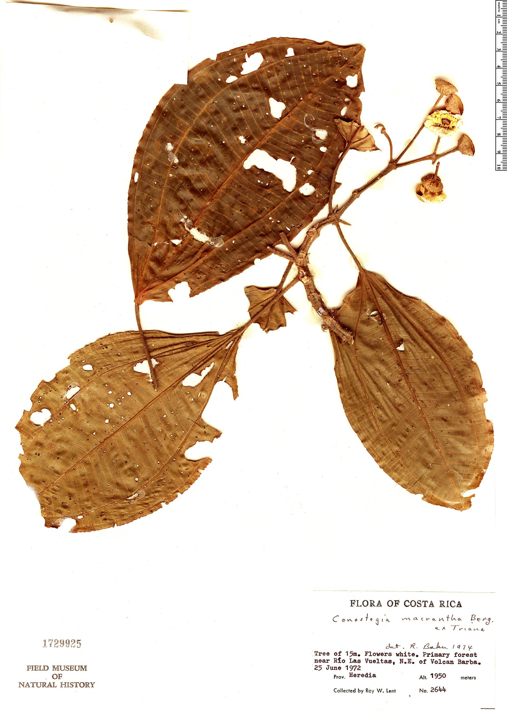 Specimen: Conostegia macrantha