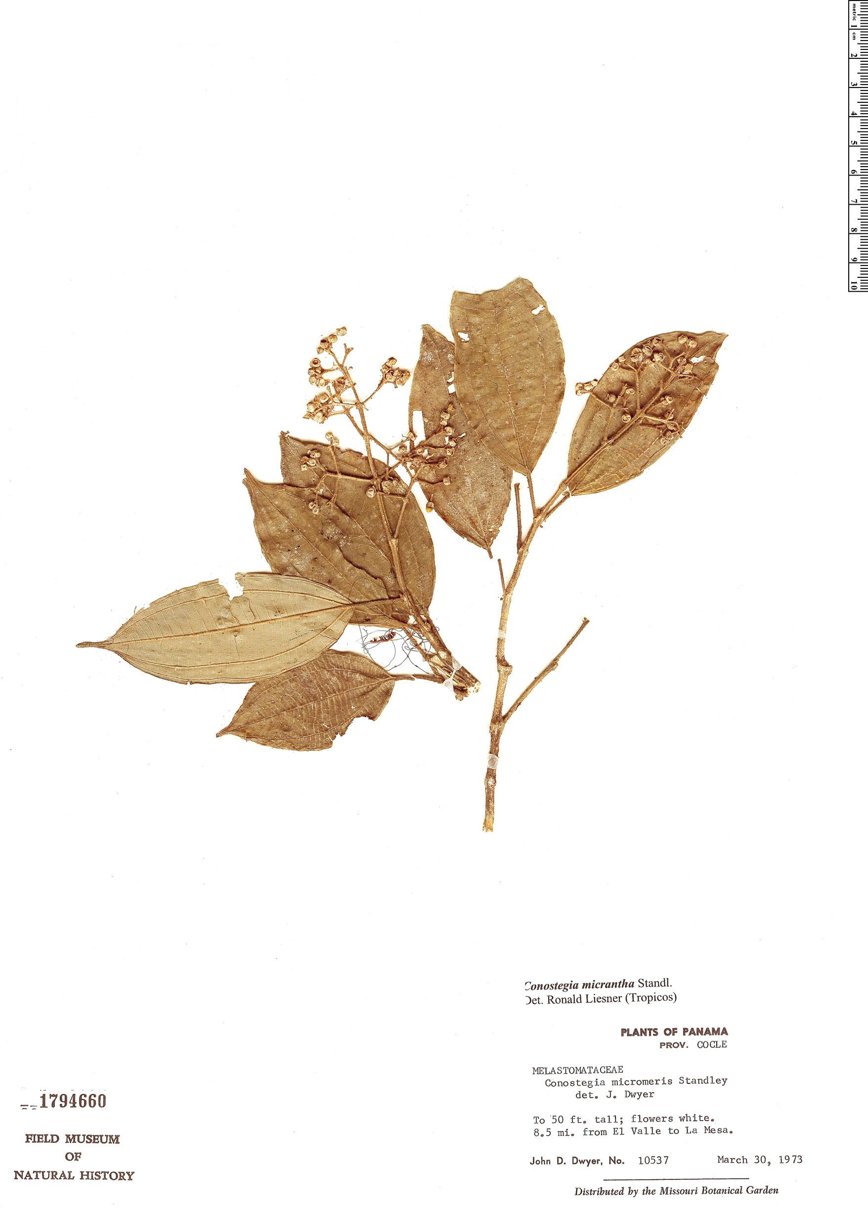Specimen: Conostegia micrantha