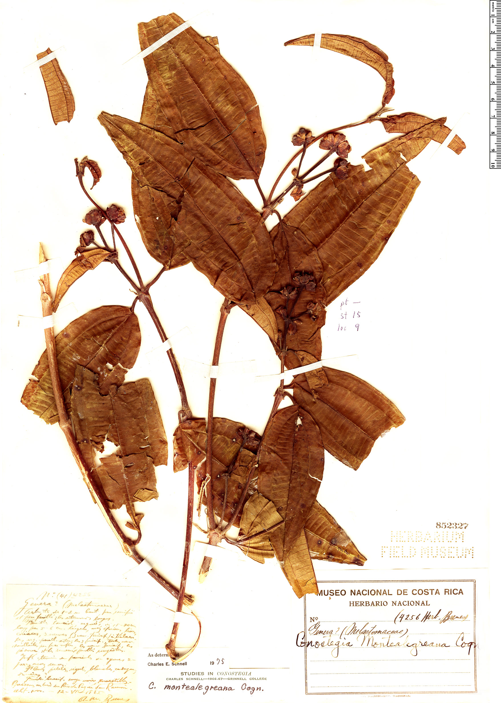 Specimen: Conostegia monteleagreana