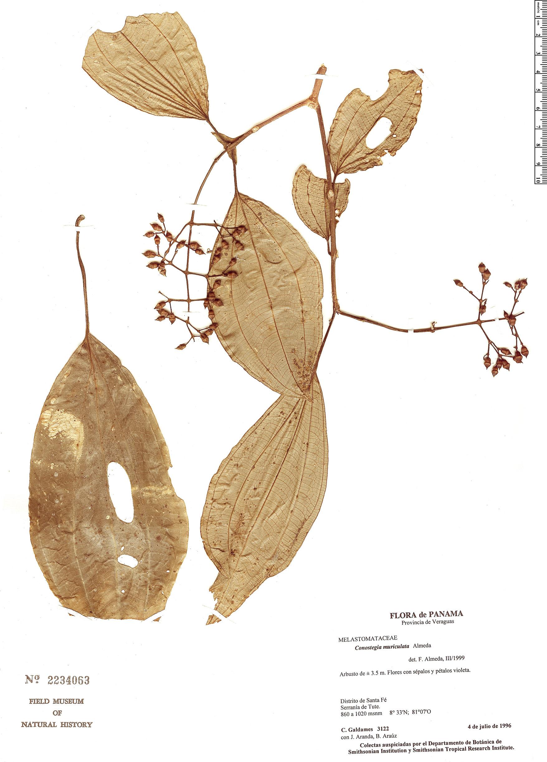 Specimen: Conostegia muriculata