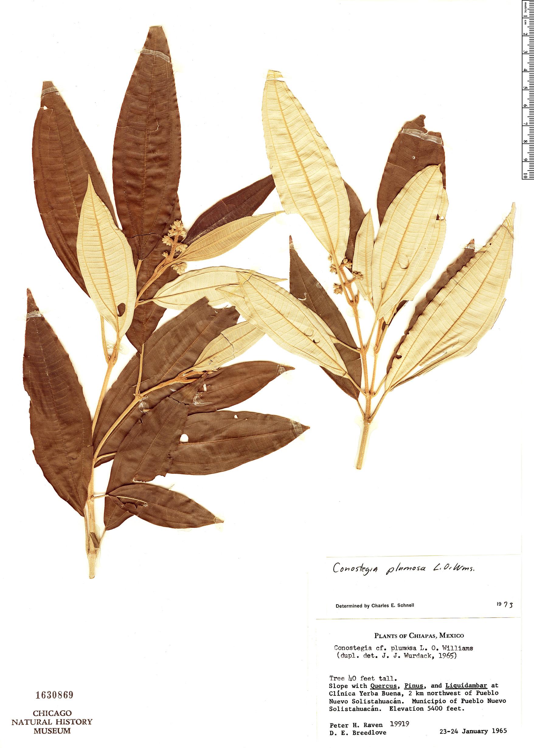 Specimen: Conostegia plumosa
