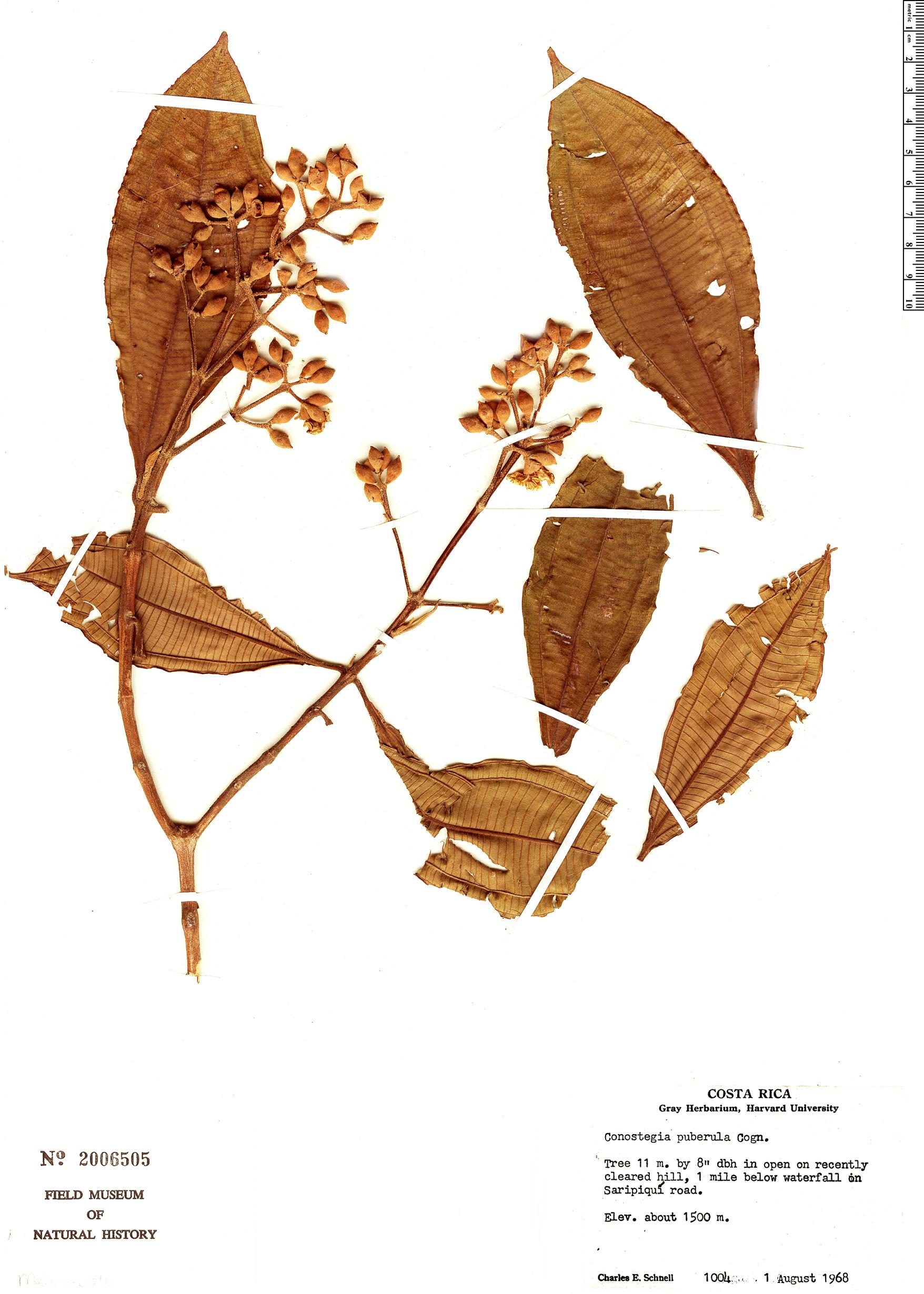 Specimen: Conostegia rufescens