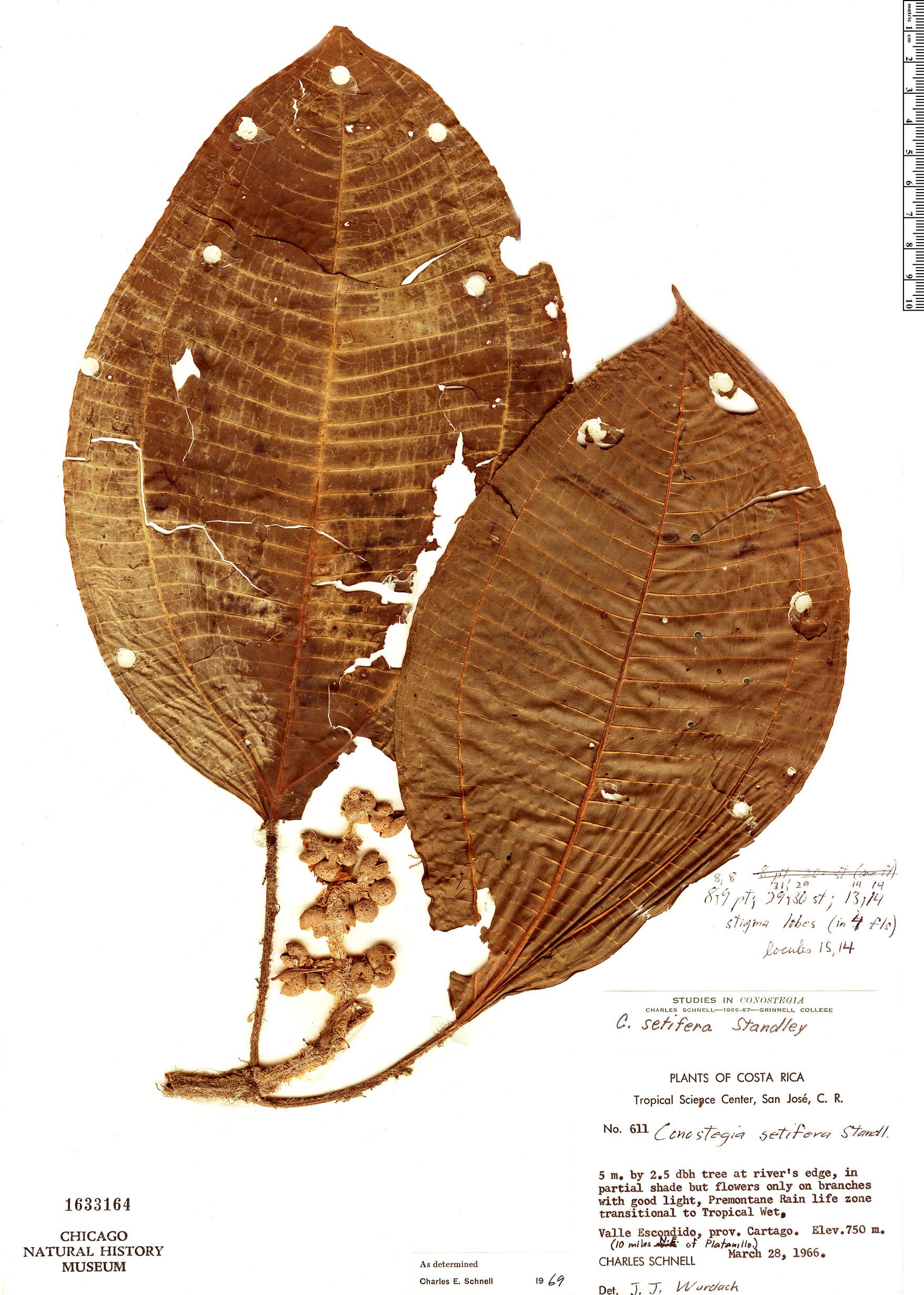 Specimen: Conostegia setifera