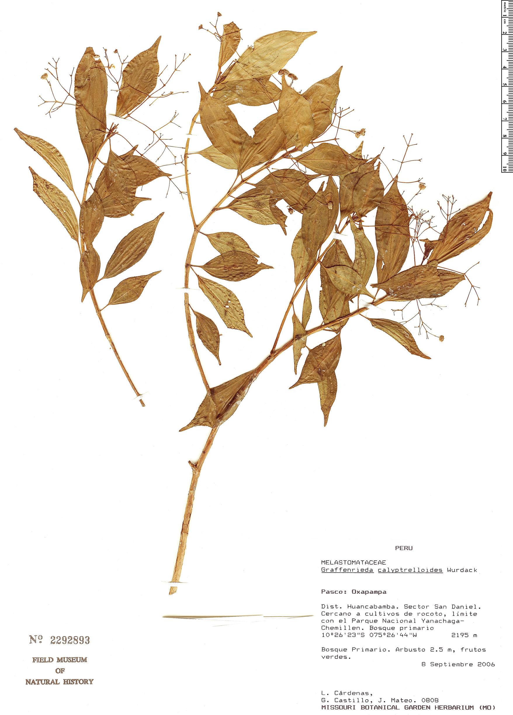 Specimen: Graffenrieda calyptrelloides