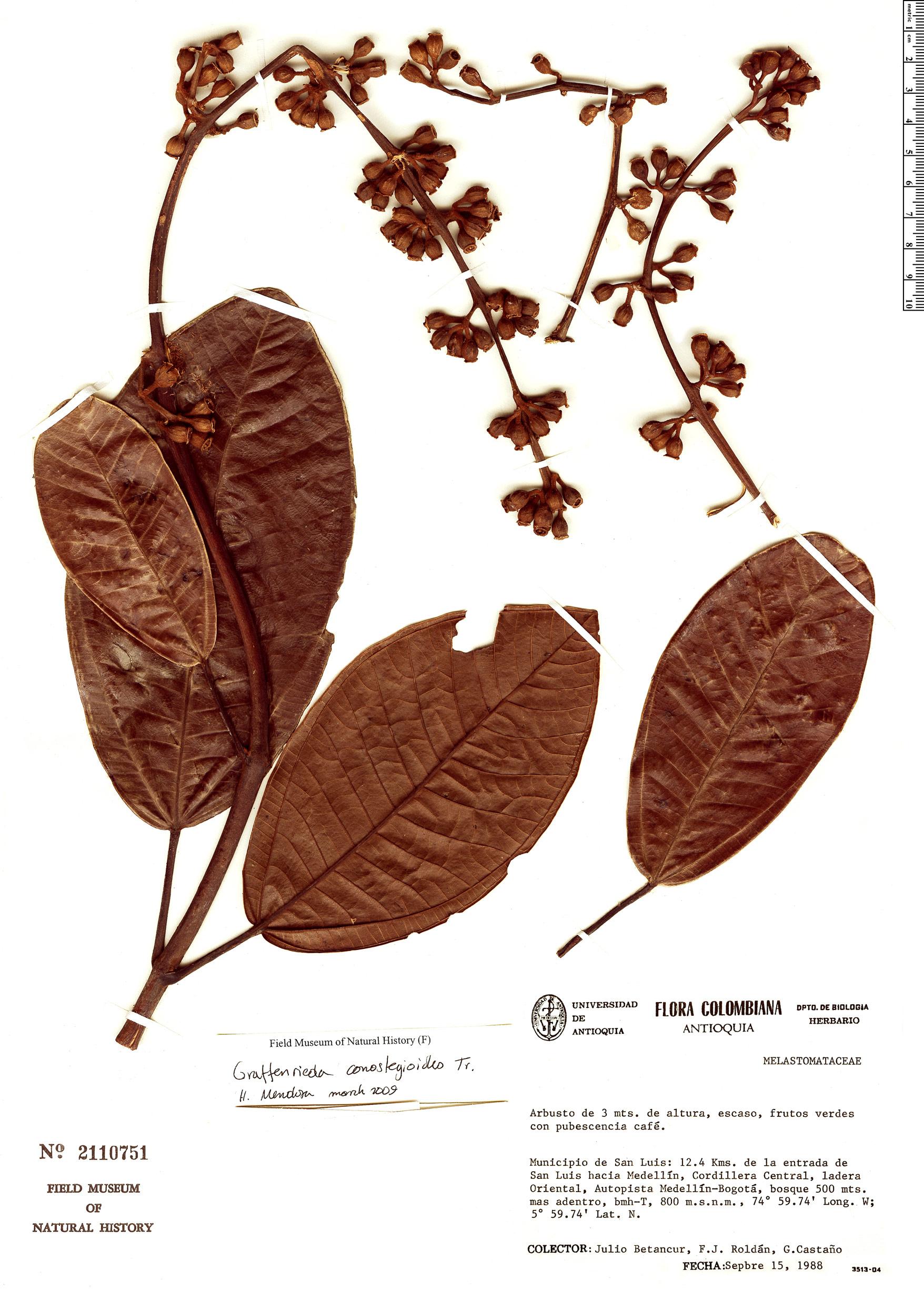 Specimen: Graffenrieda conostegioides