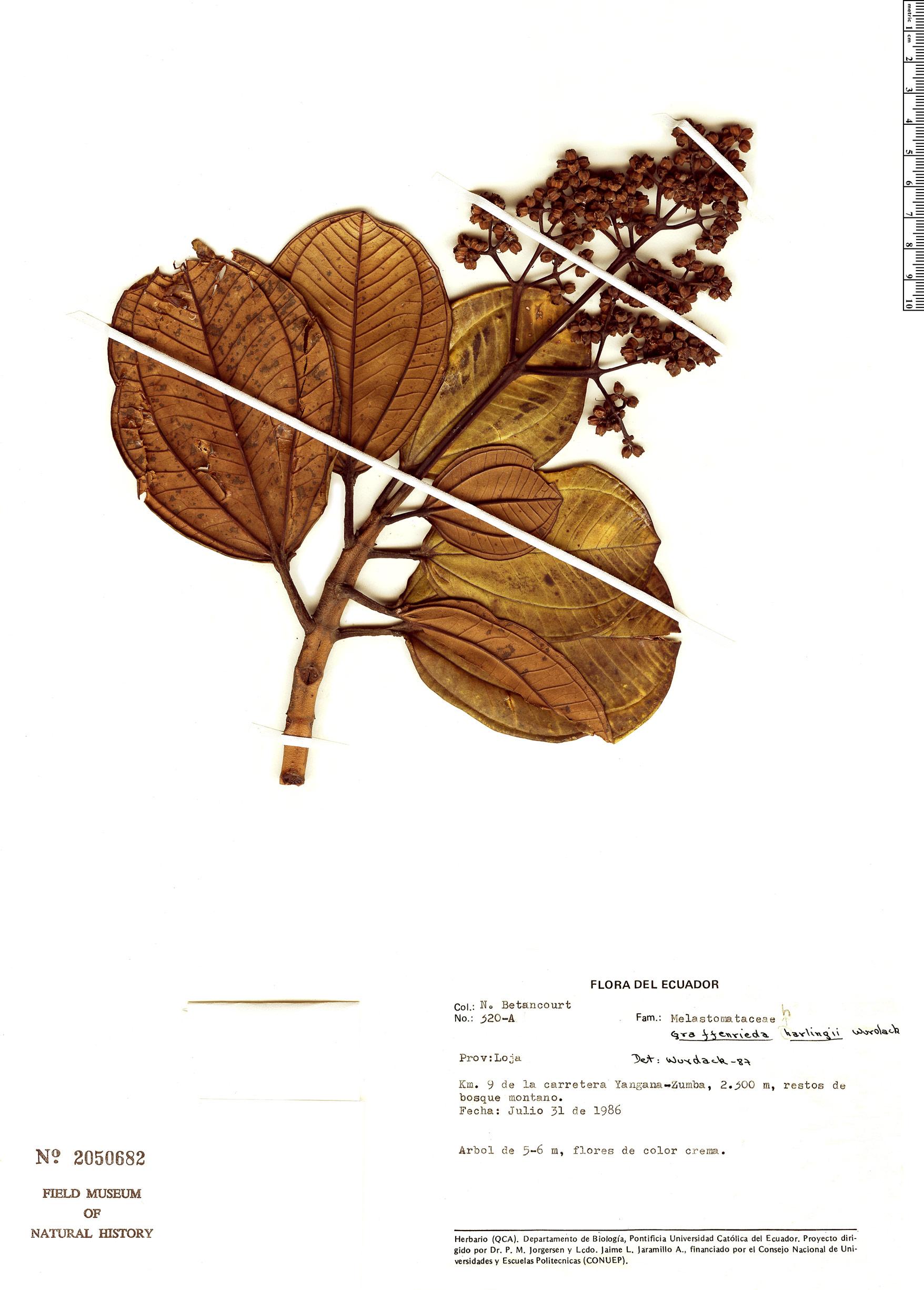 Specimen: Graffenrieda harlingii