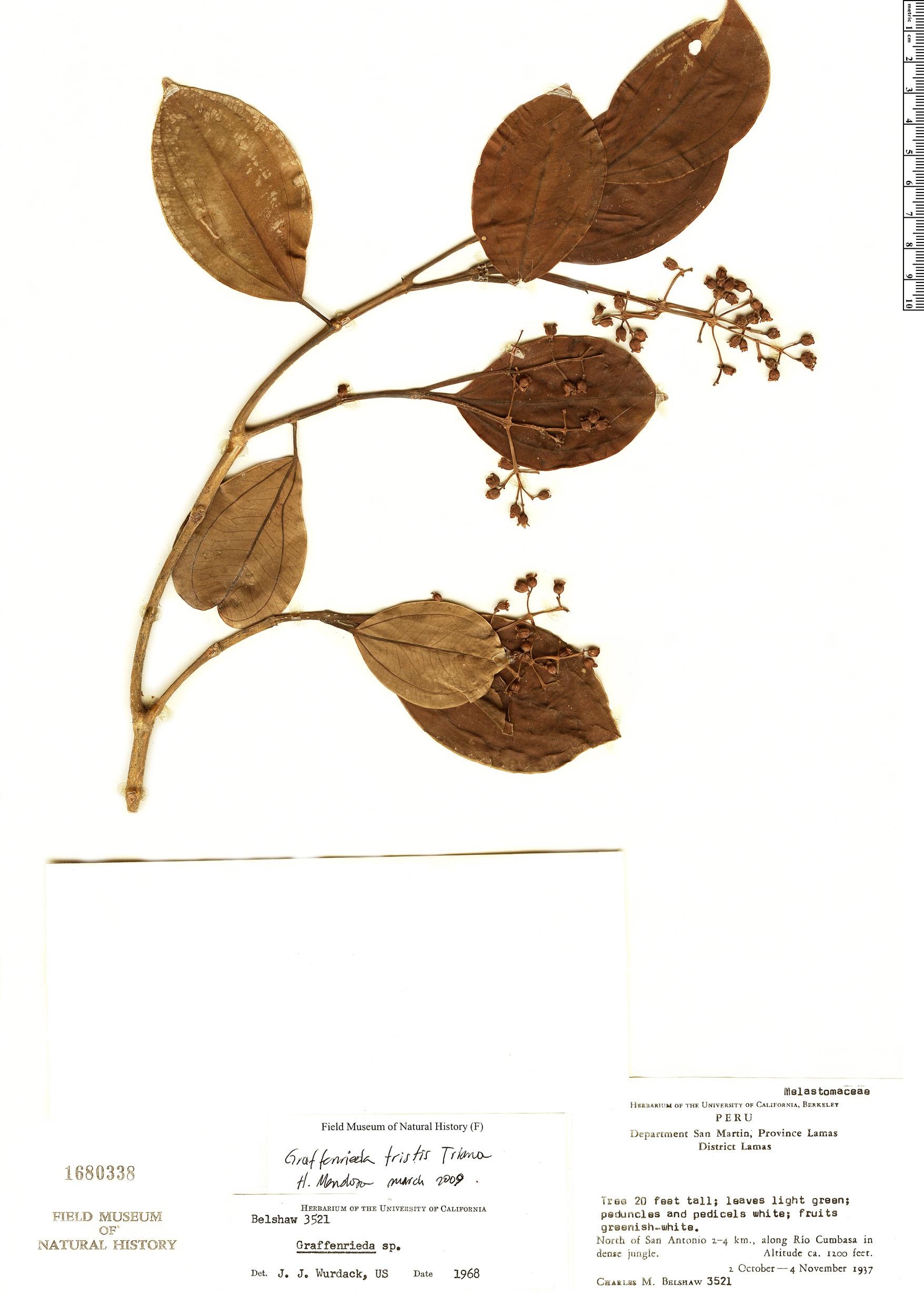 Specimen: Graffenrieda tristis