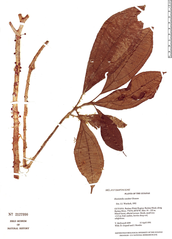Espécimen: Henriettea caudata