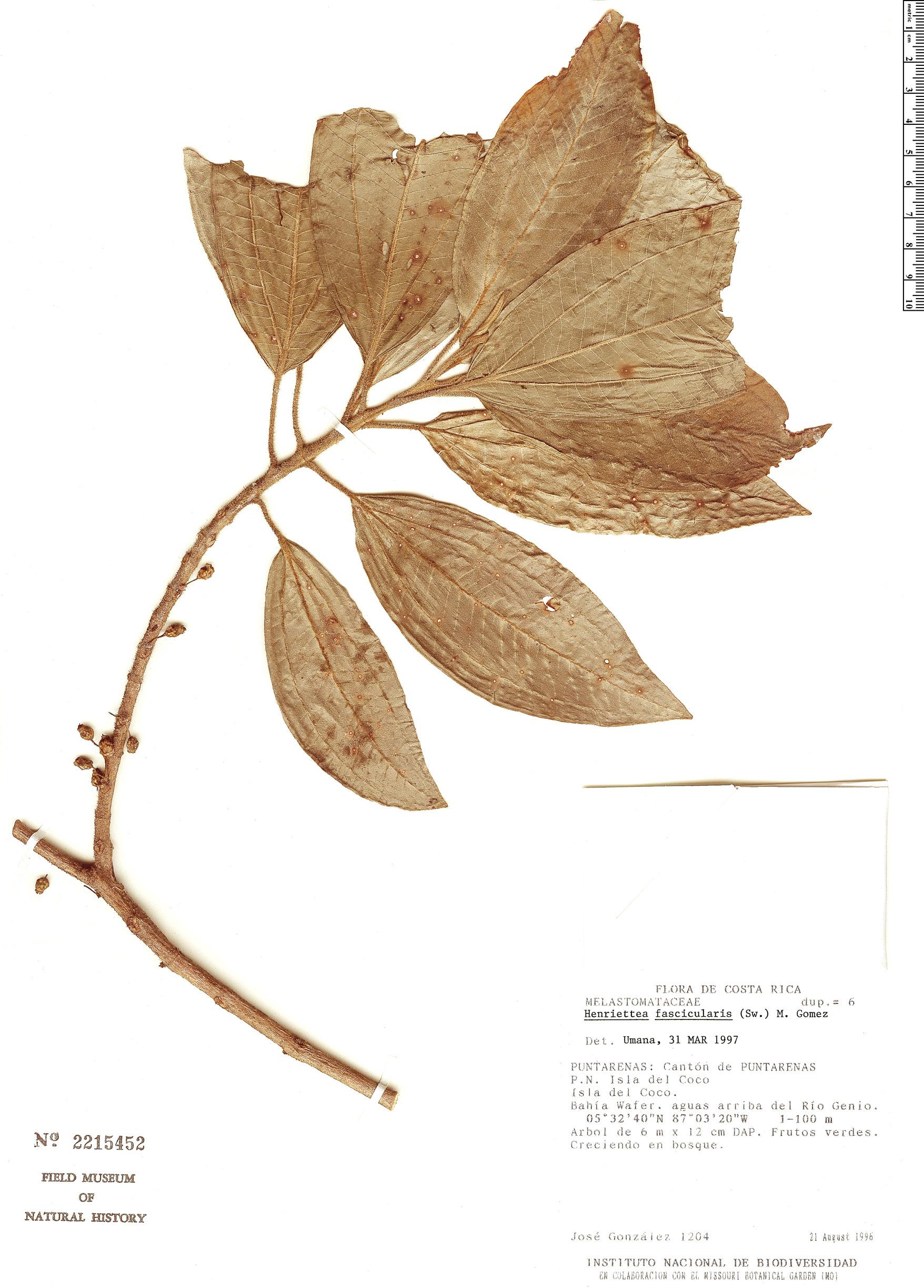 Specimen: Henriettea fascicularis