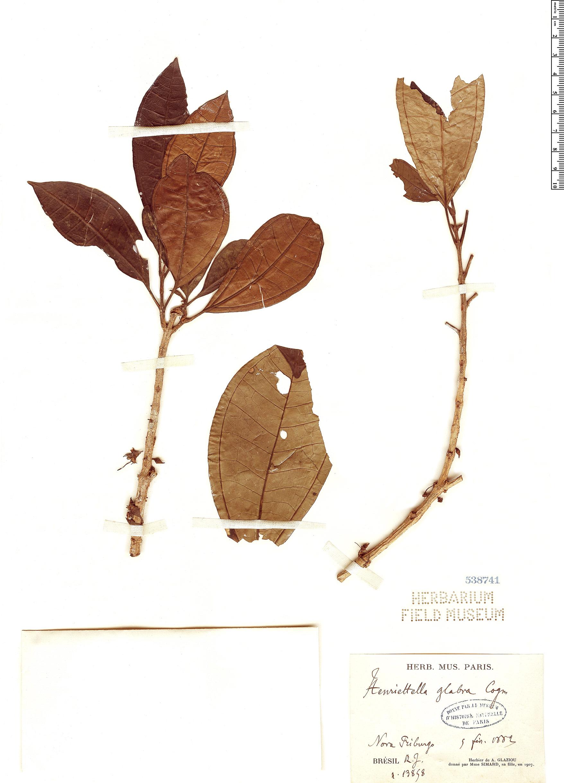 Specimen: Henriettea glabra