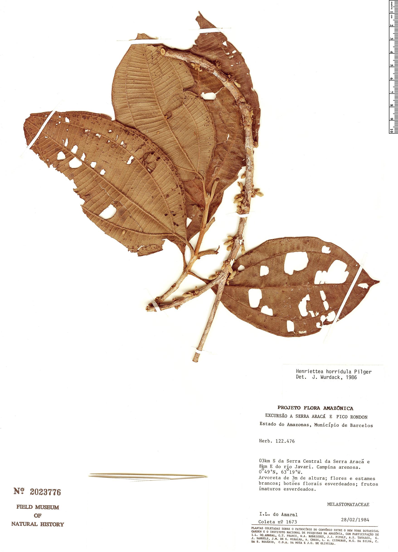 Specimen: Henriettea horridula