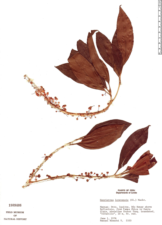 Specimen: Henriettea loretensis