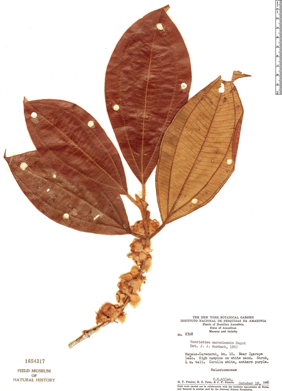 Espécime: Henriettea maroniensis
