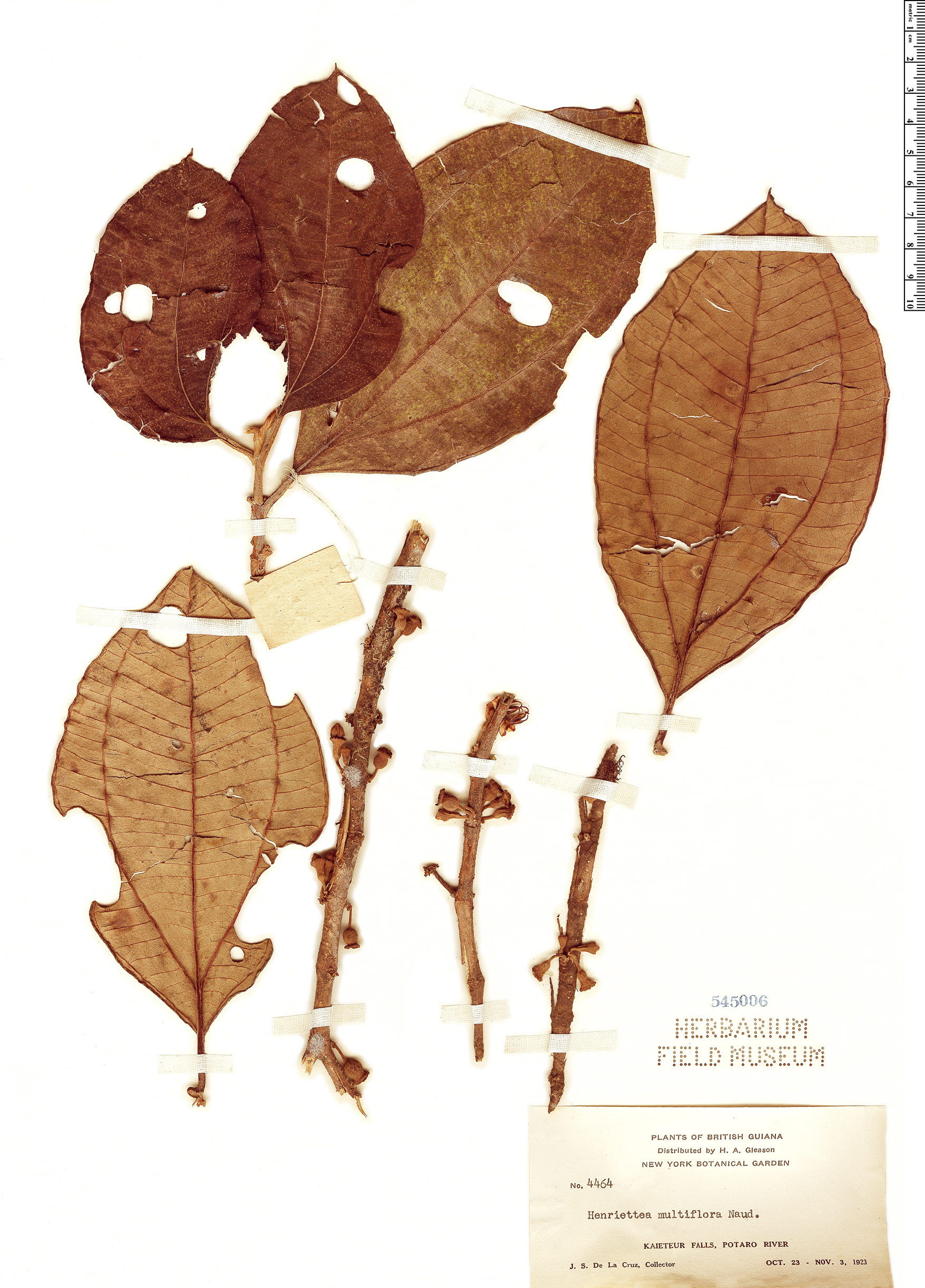 Specimen: Henriettea multiflora