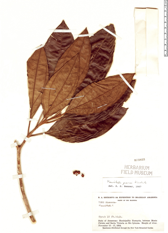 Espécimen: Henriettea prancei