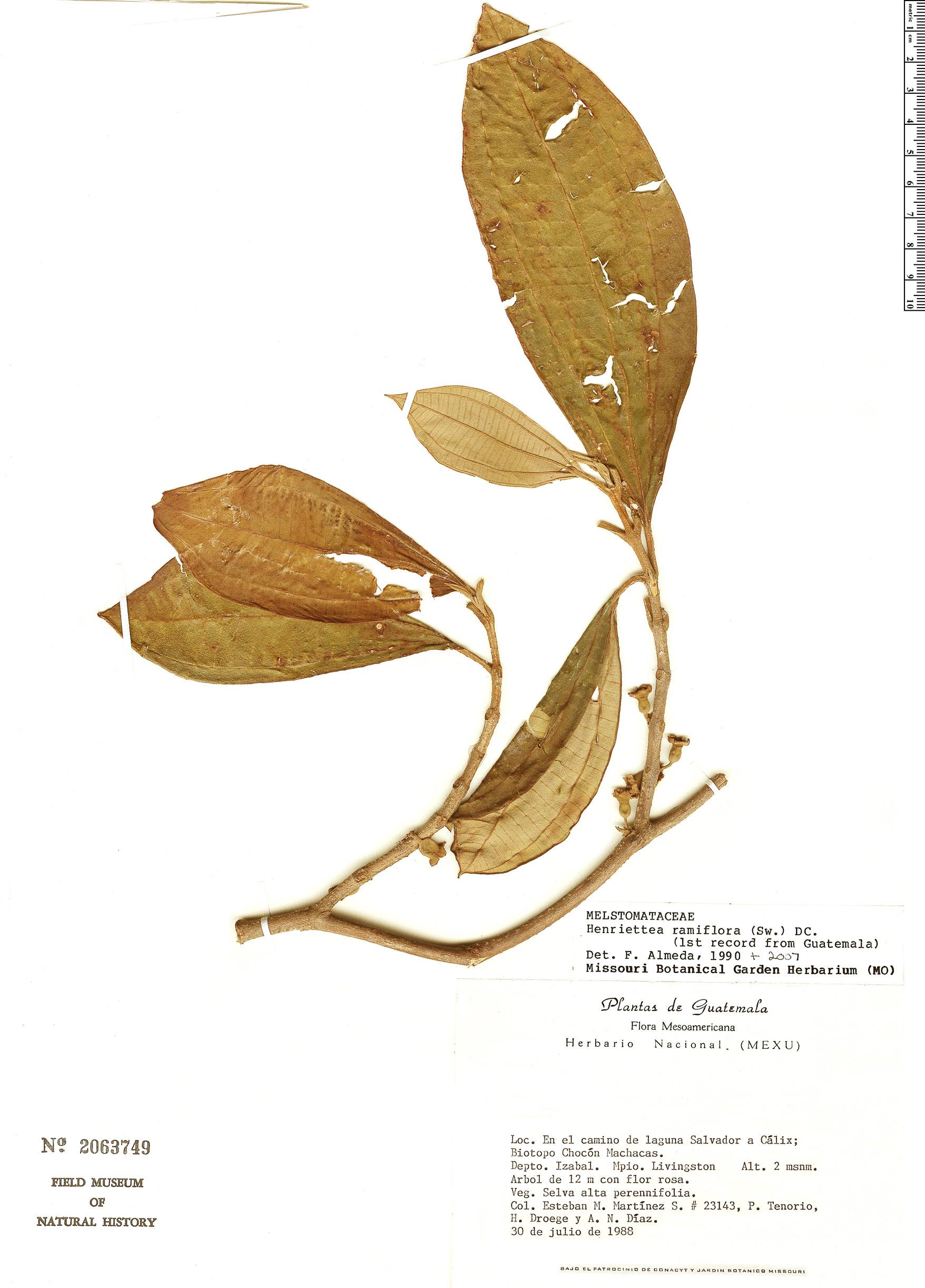 Specimen: Henriettea ramiflora