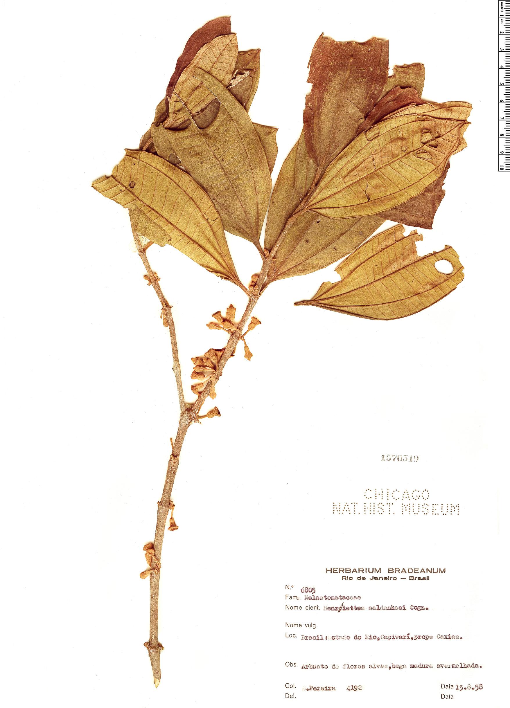 Specimen: Henriettea saldanhaei