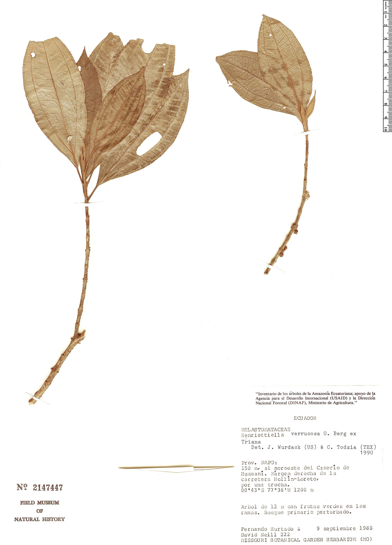 Specimen: Henriettea verrucosa