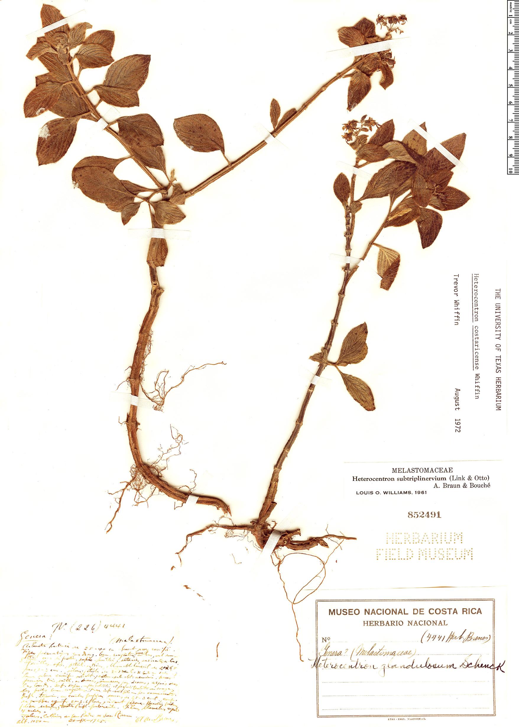 Specimen: Heterocentron costaricense