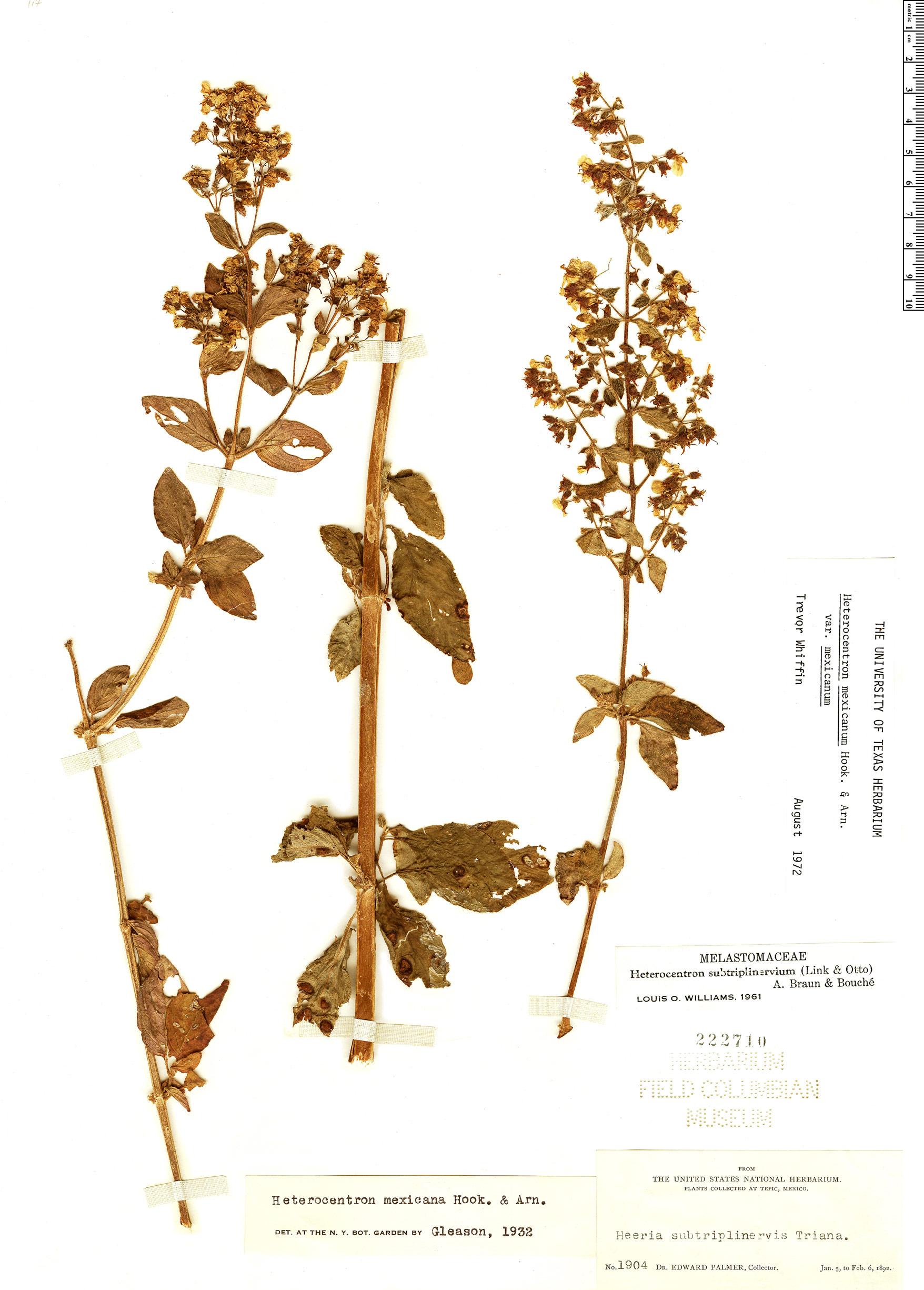 Specimen: Heterocentron mexicanum