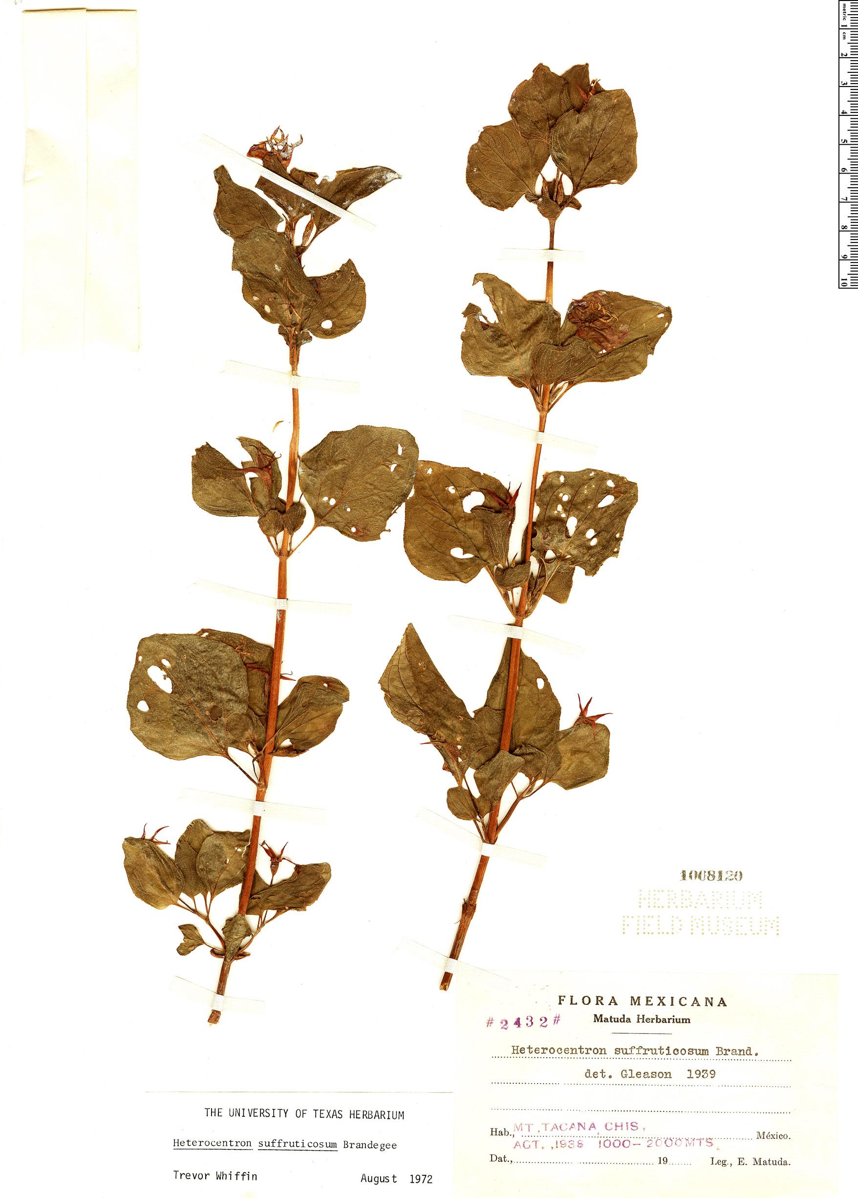 Specimen: Heterocentron suffruticosum