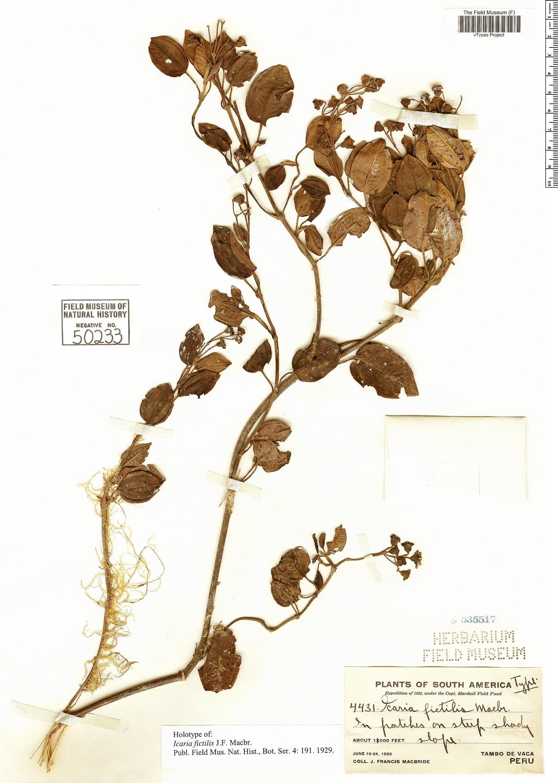 Specimen: Miconia fictilis