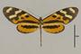 125652 Mechanitis polymnia bolivarensis d IN