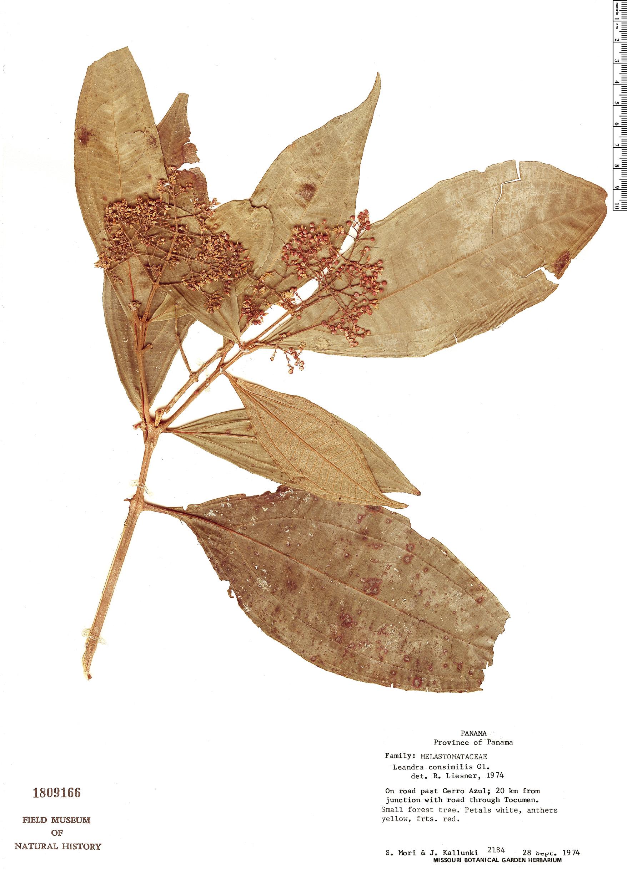 Specimen: Leandra consimilis