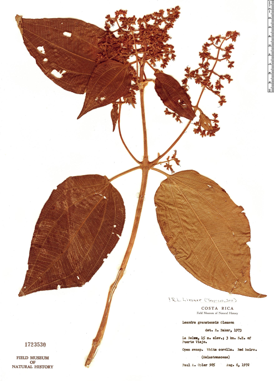 Specimen: Leandra granatensis