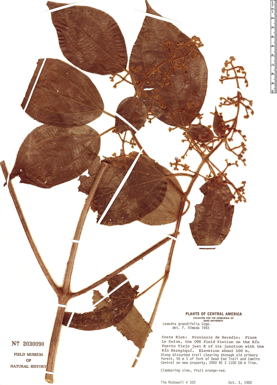 Specimen: Leandra grandifolia