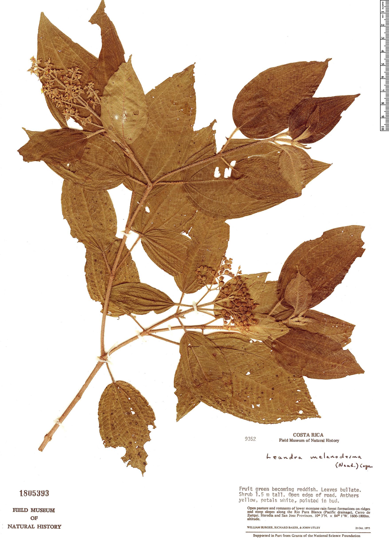 Specimen: Leandra melanodesma