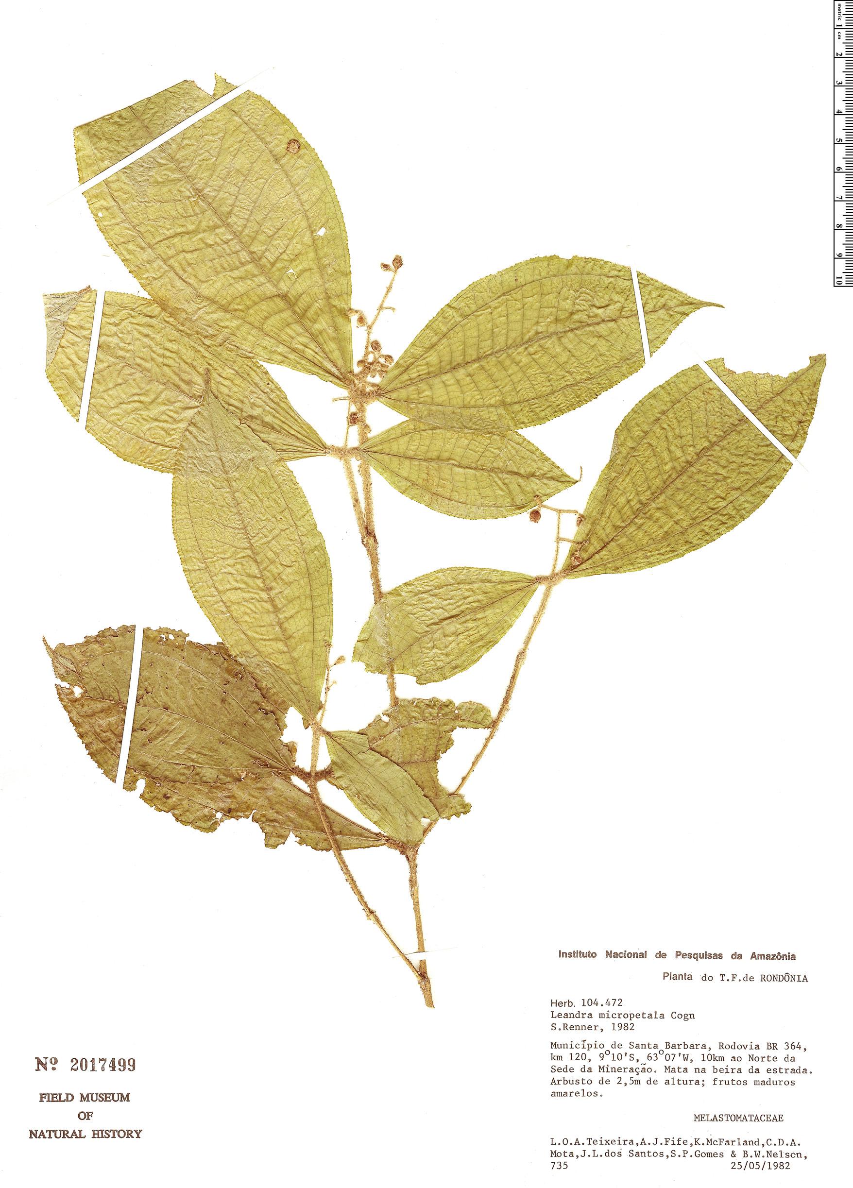 Espécime: Leandra micropetala
