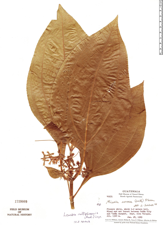 Specimen: Leandra multiplinervis