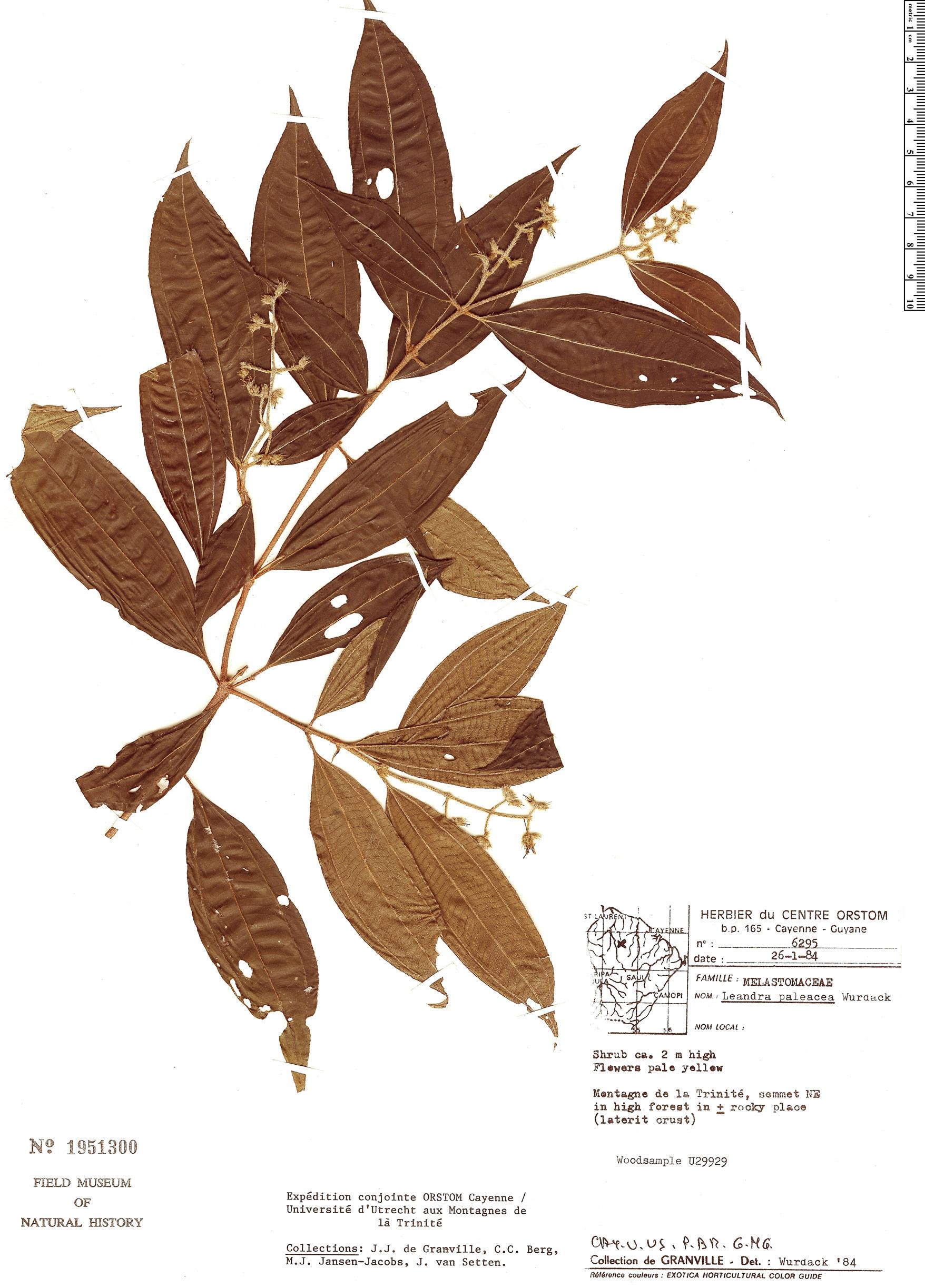 Specimen: Leandra paleacea