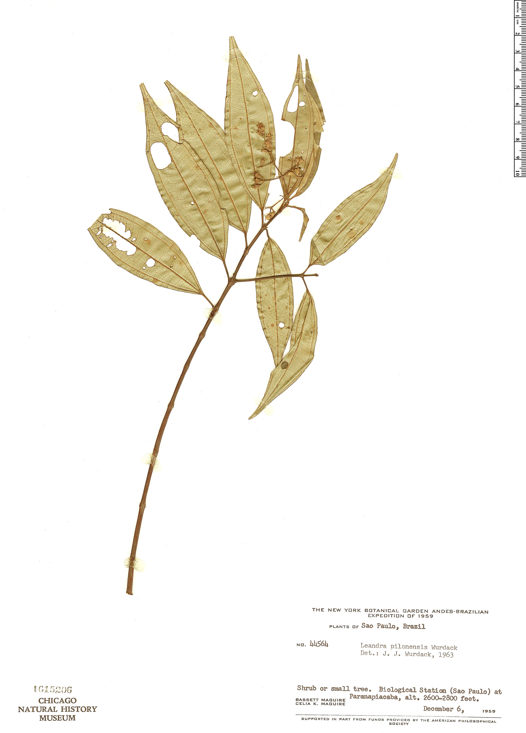 Specimen: Leandra pilonensis