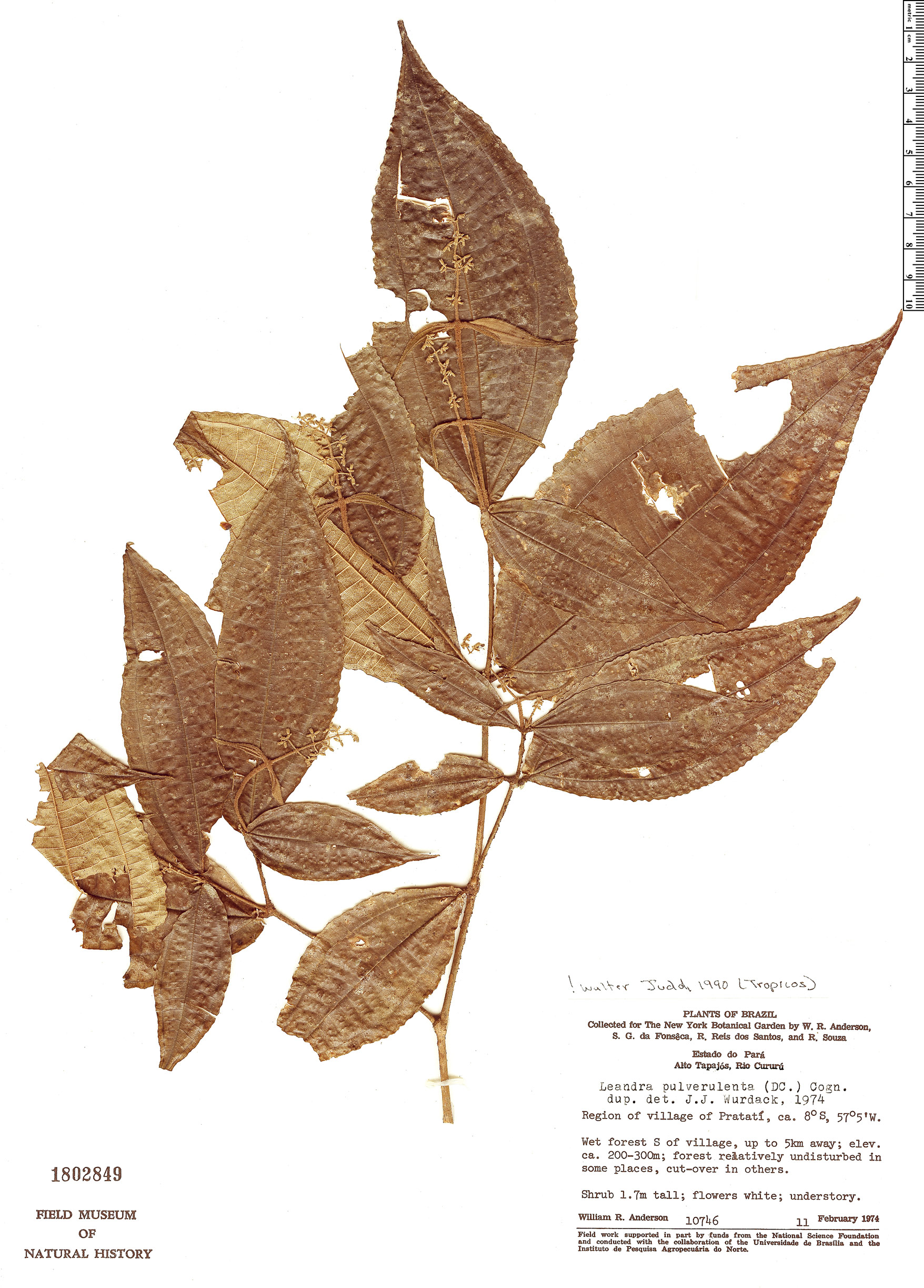 Specimen: Leandra pulverulenta