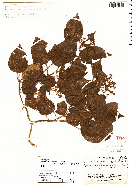 Specimen: Leandra rotundifolia