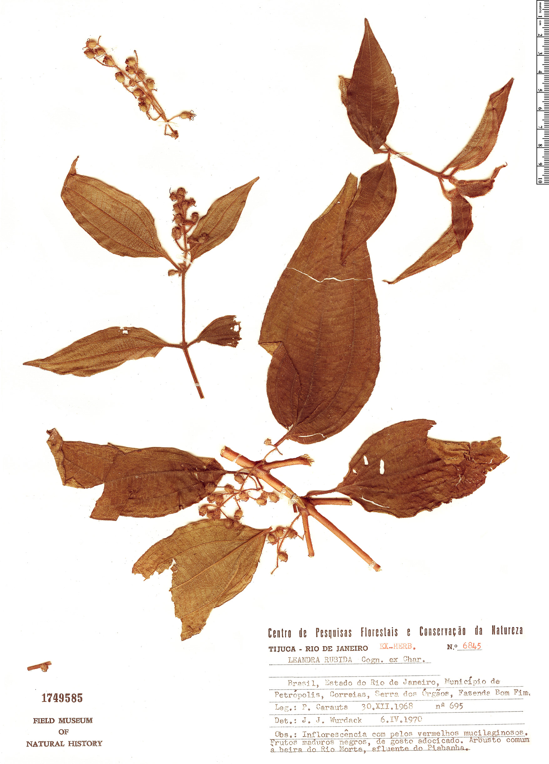Specimen: Leandra rubida