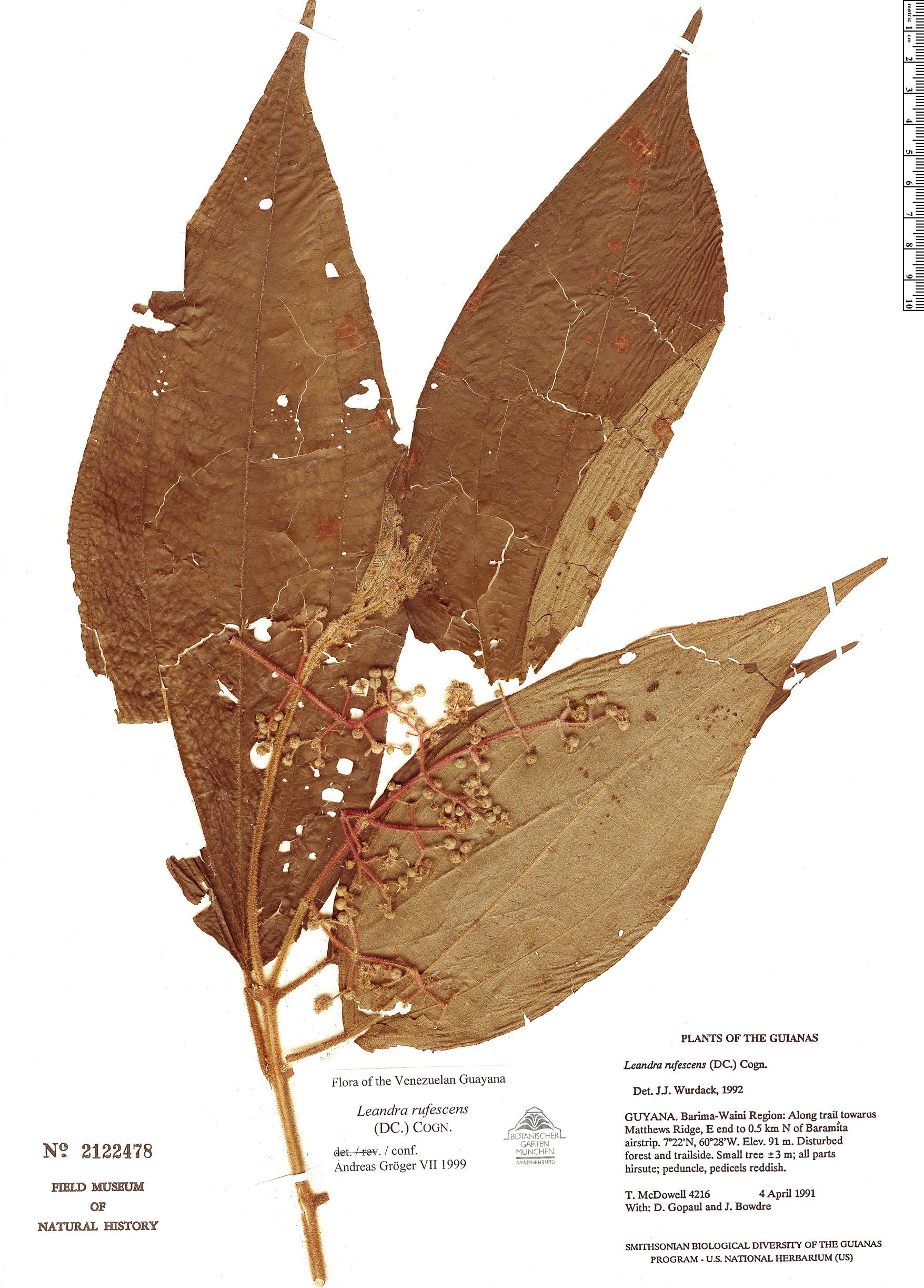 Specimen: Leandra rufescens