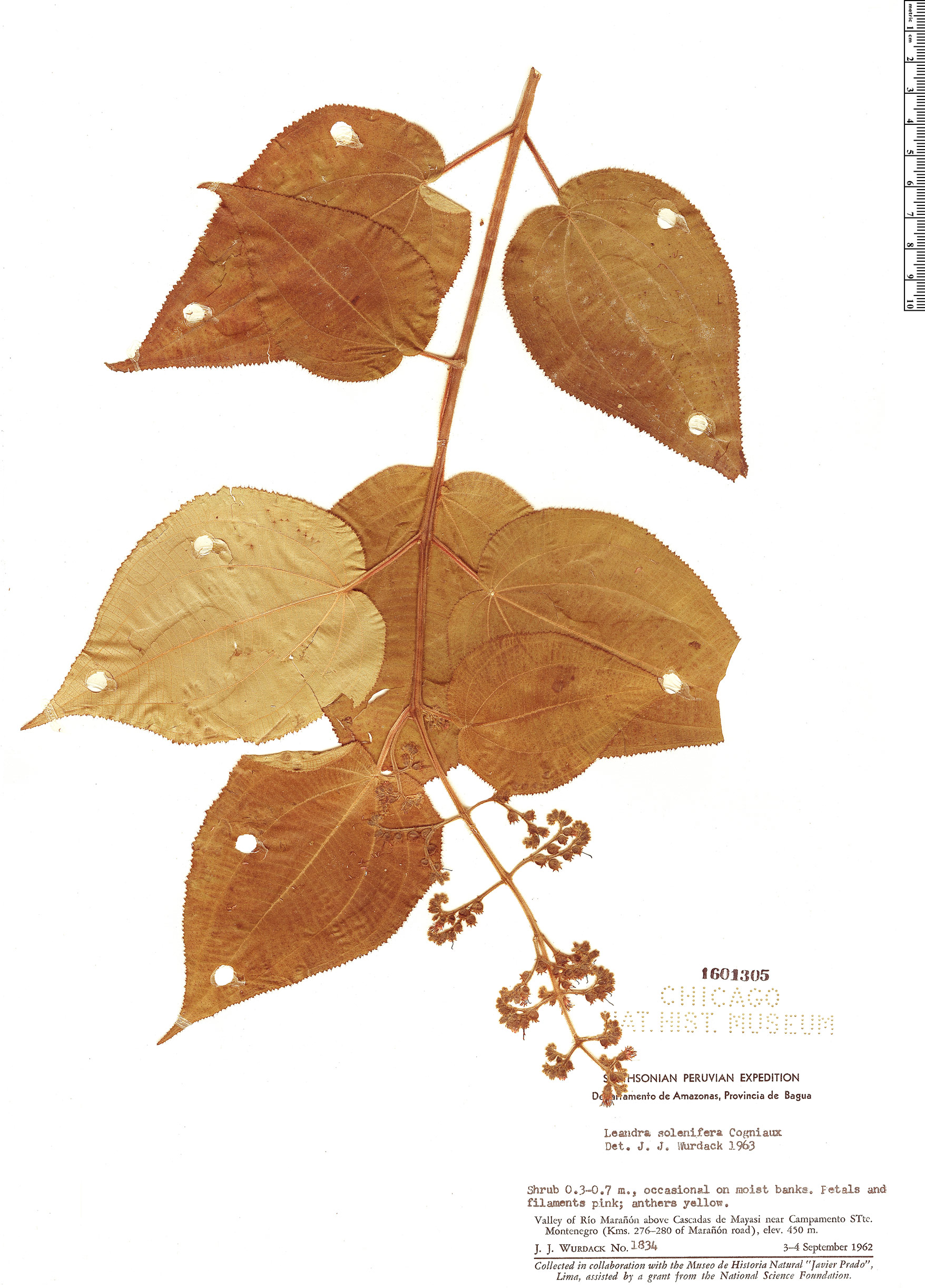 Specimen: Leandra solenifera