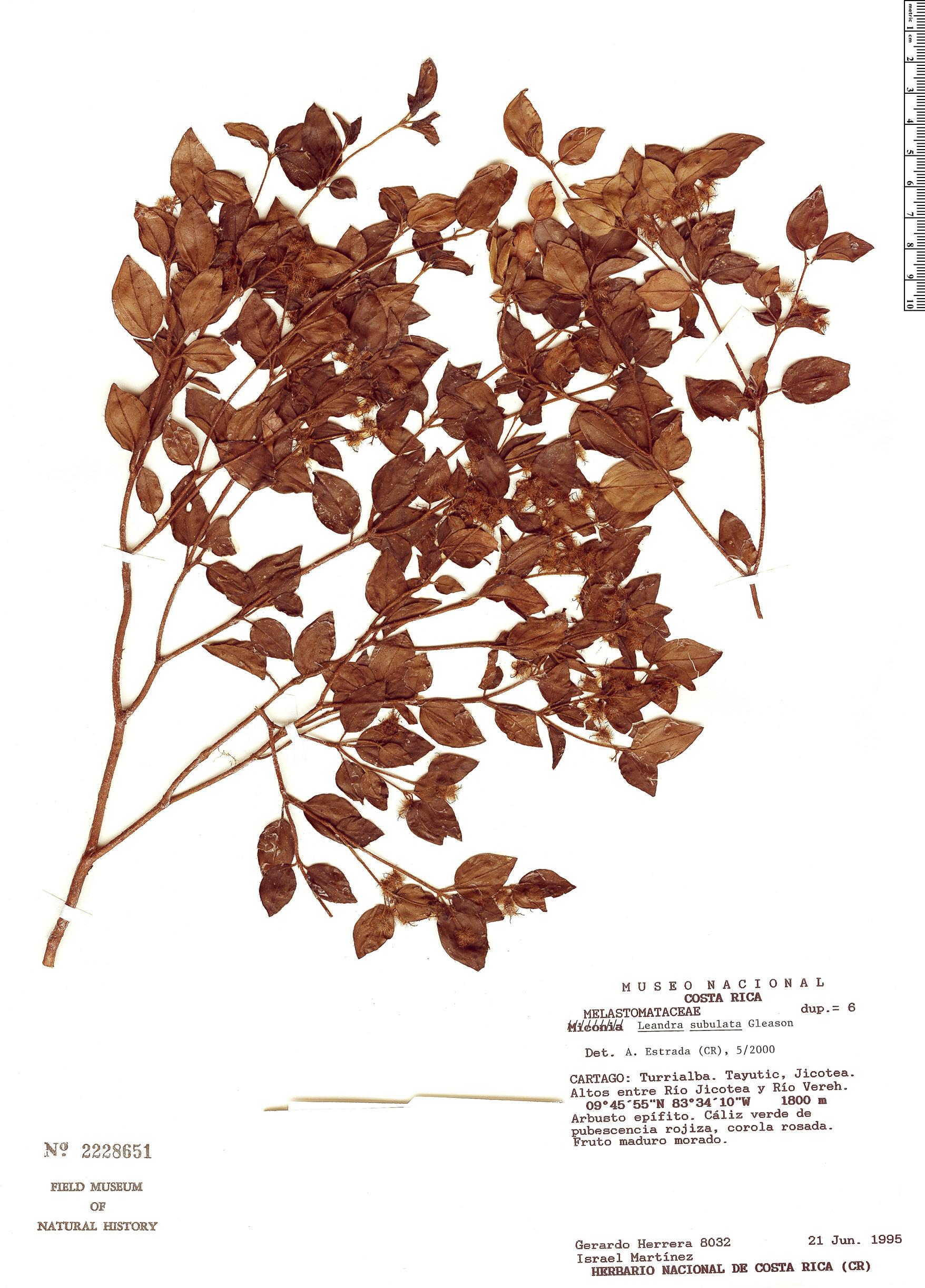 Specimen: Leandra subulata
