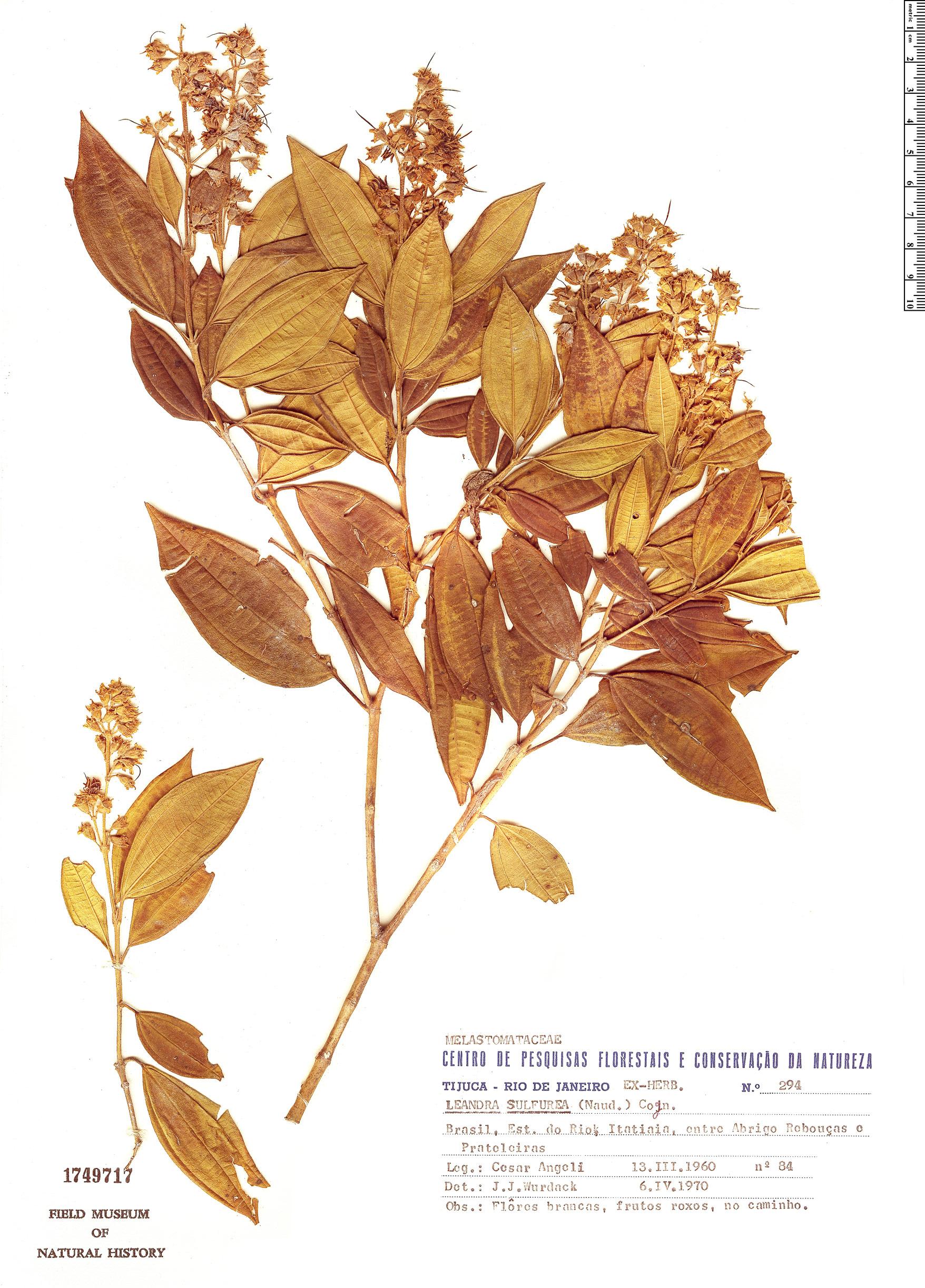 Specimen: Leandra sulfurea