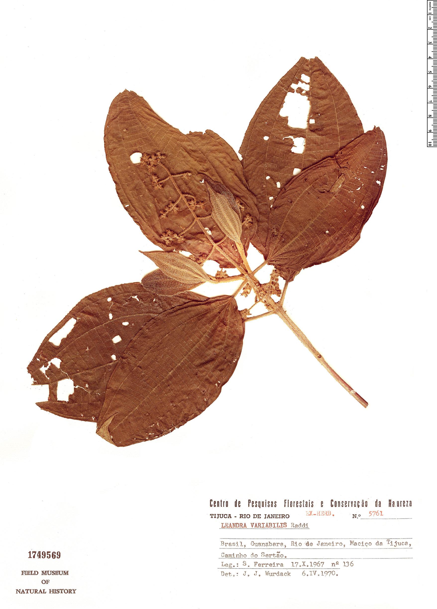 Specimen: Leandra variabilis