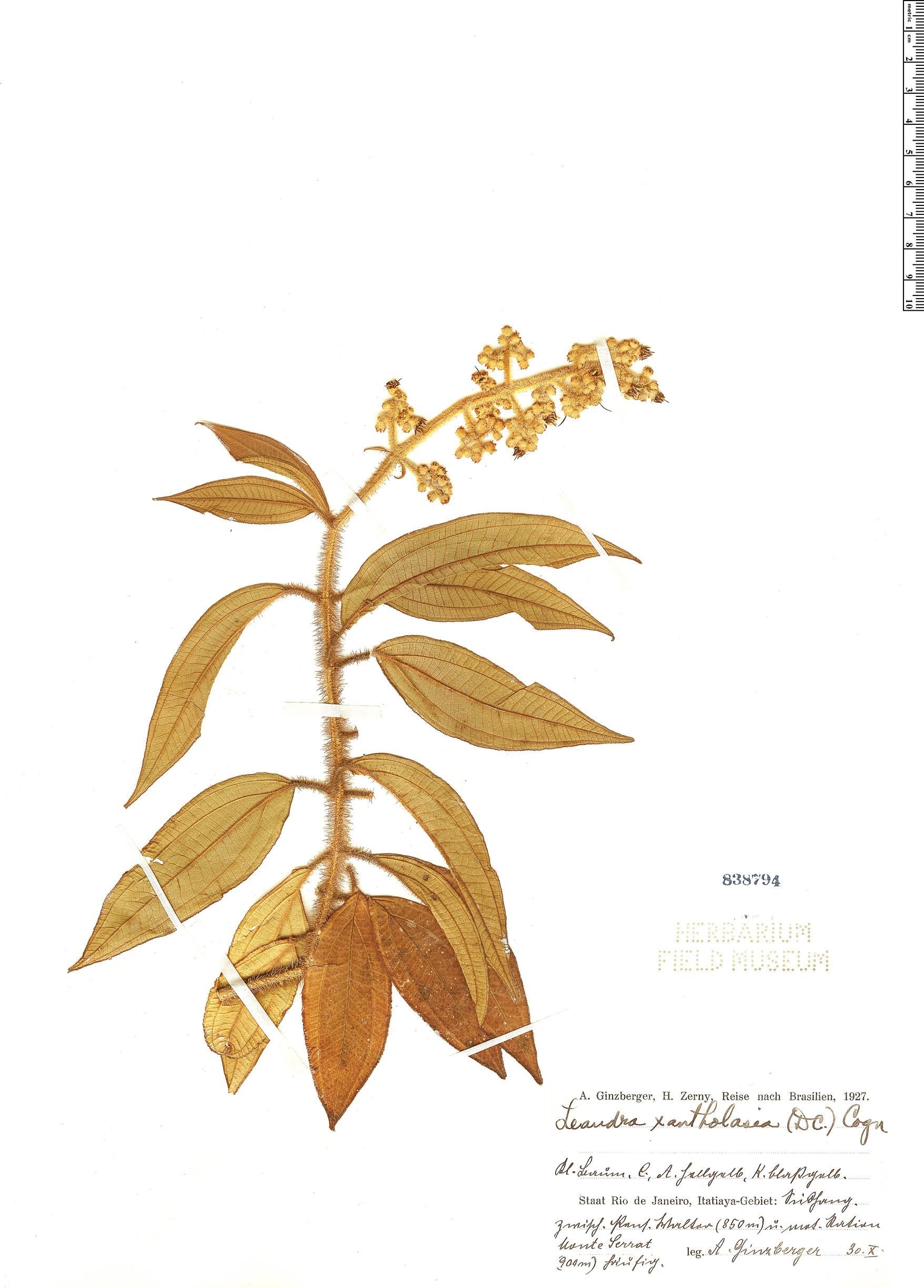 Specimen: Leandra xantholasia