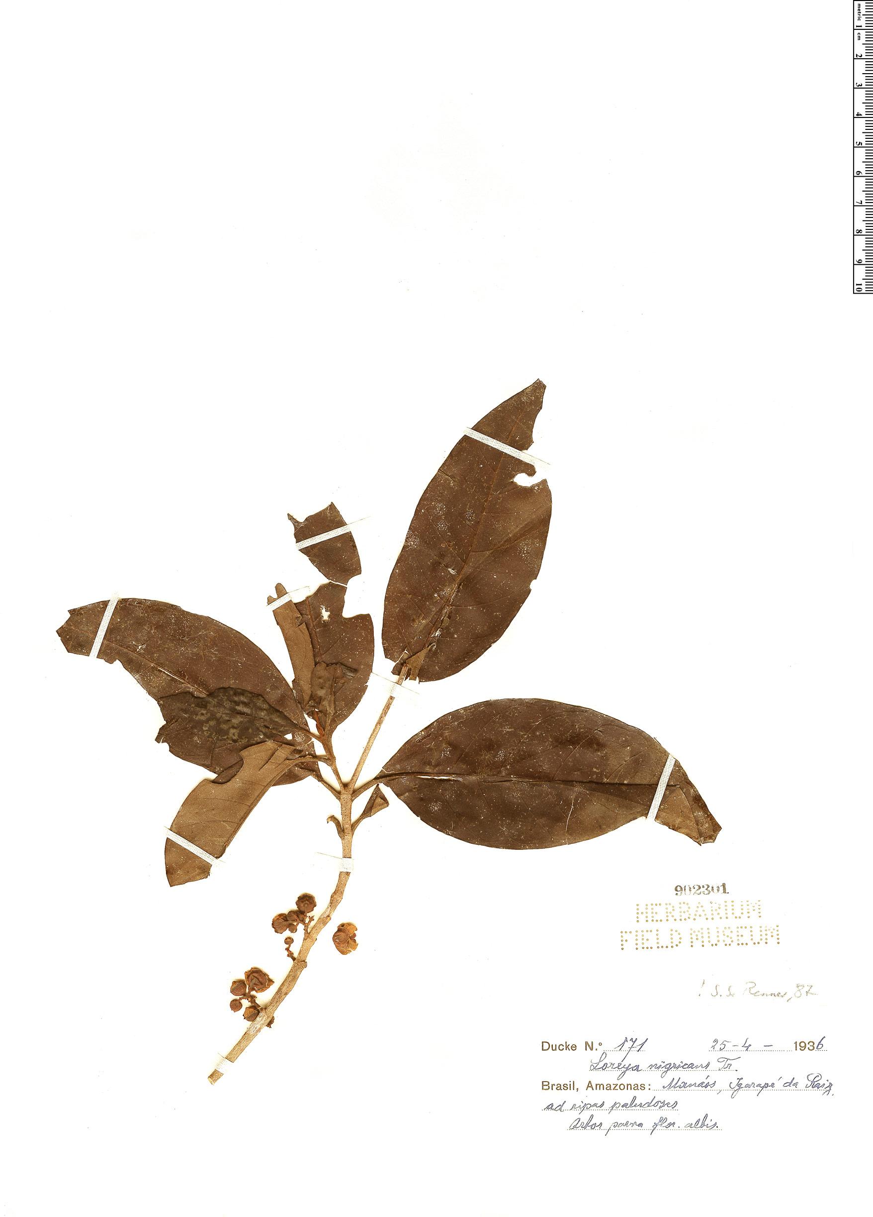 Specimen: Bellucia nigricans