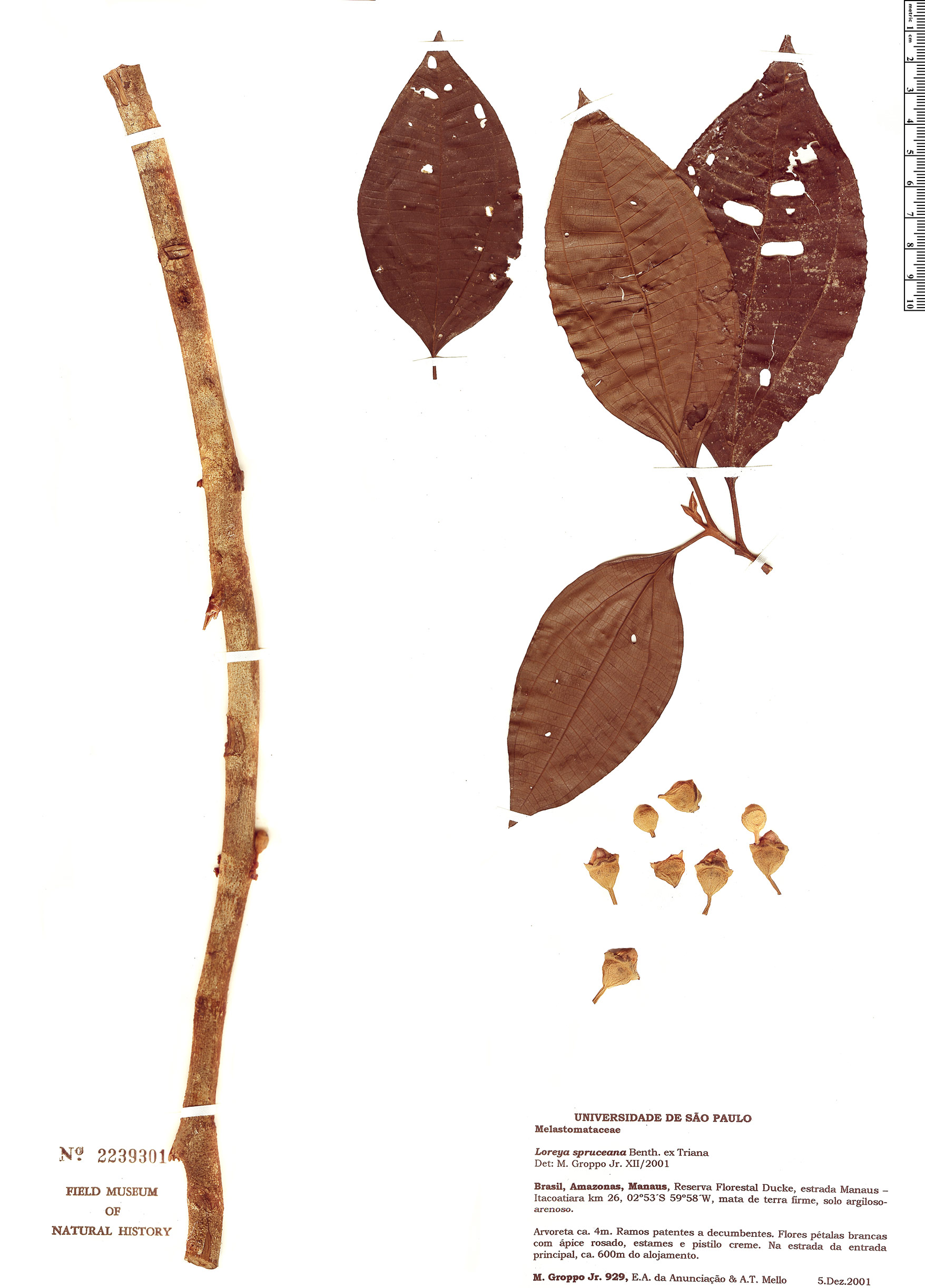 Specimen: Bellucia spruceana