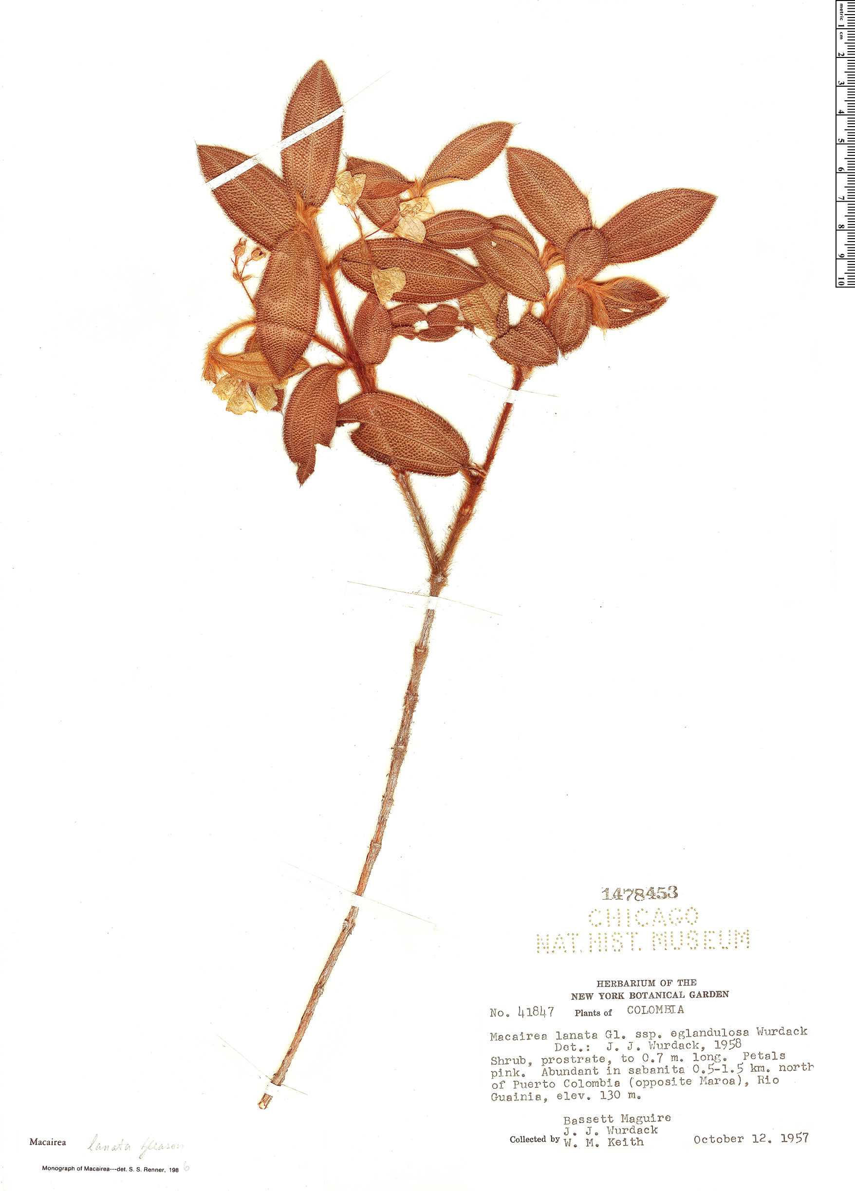 Specimen: Macairea lanata
