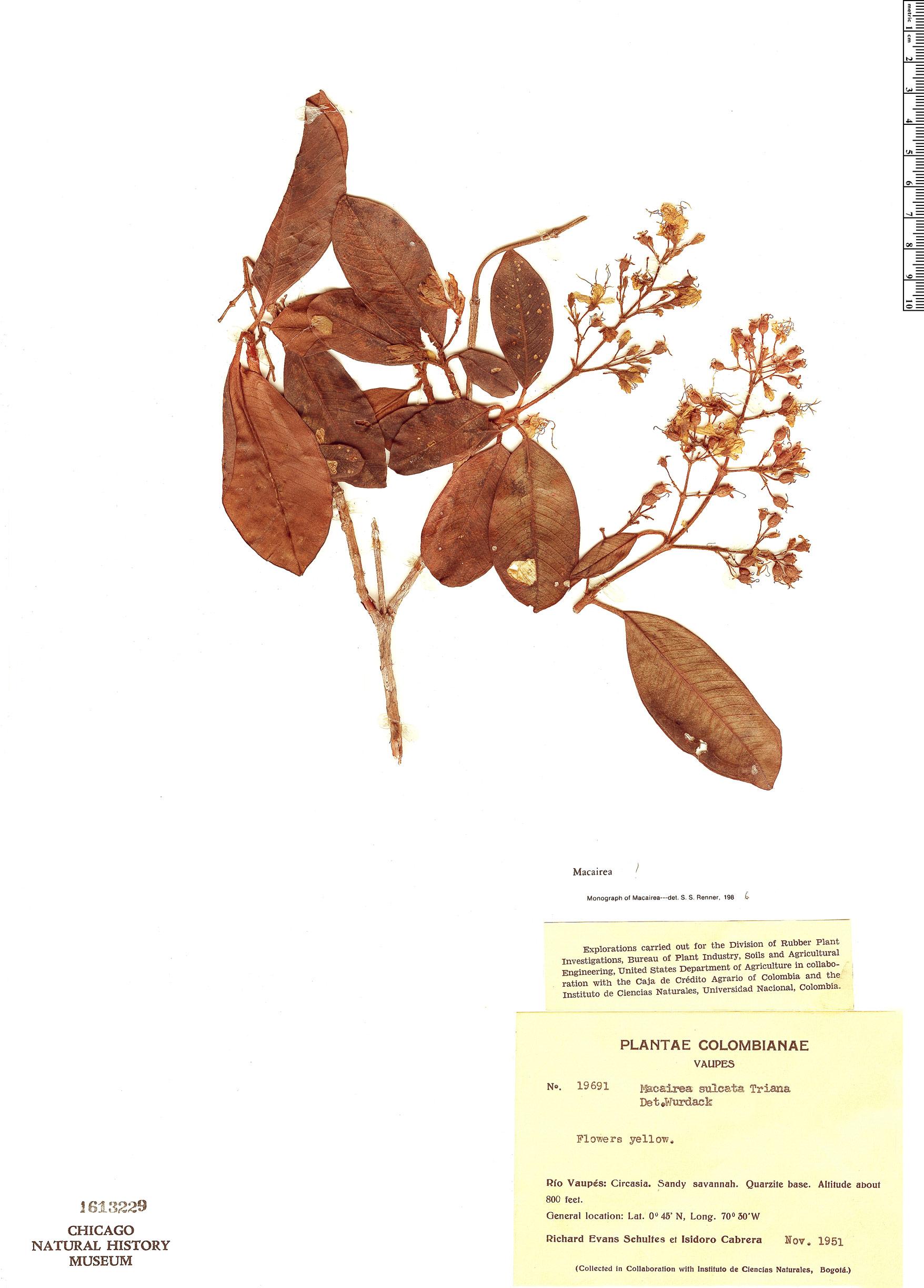 Specimen: Macairea sulcata
