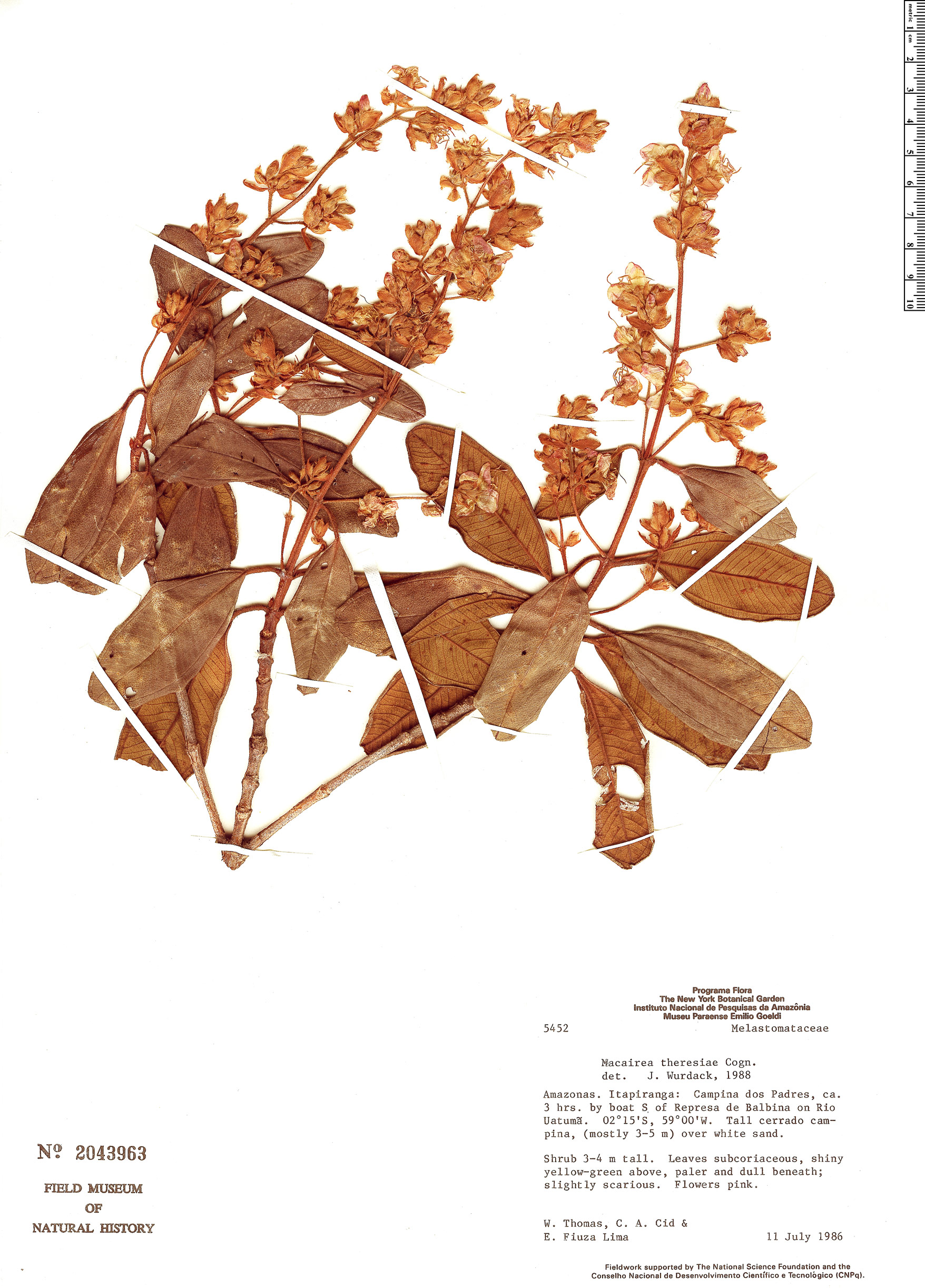 Specimen: Macairea theresiae
