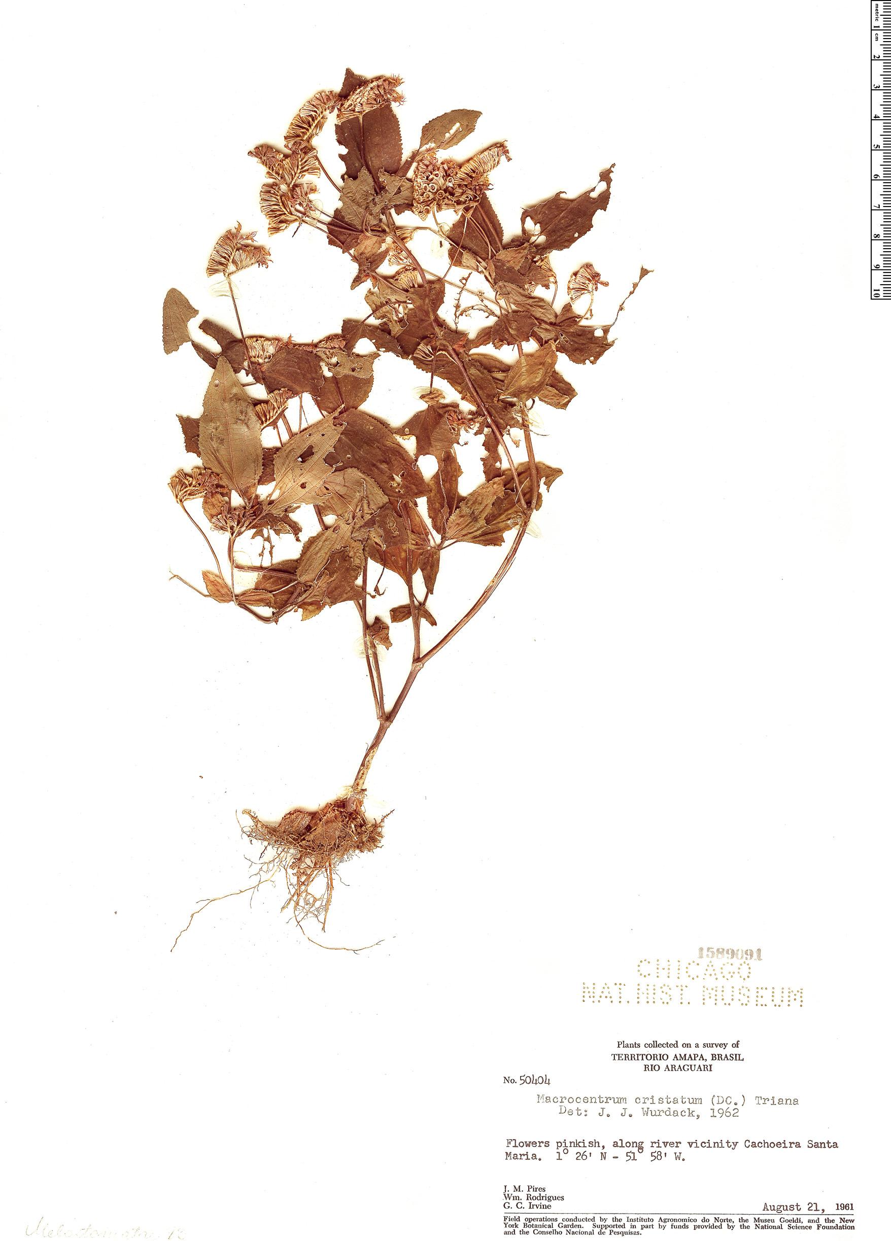 Specimen: Macrocentrum cristatum